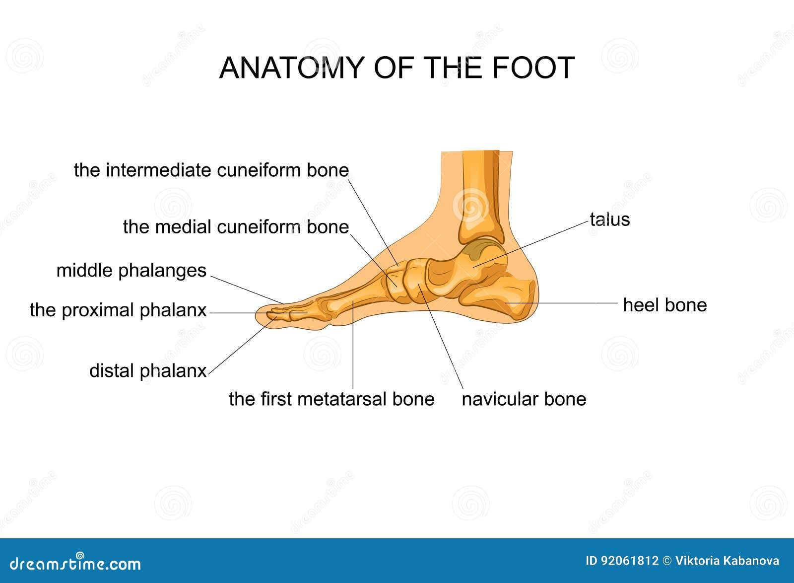 Anatomie Van Een Skeletvoet Vector Illustratie - Illustratie ...