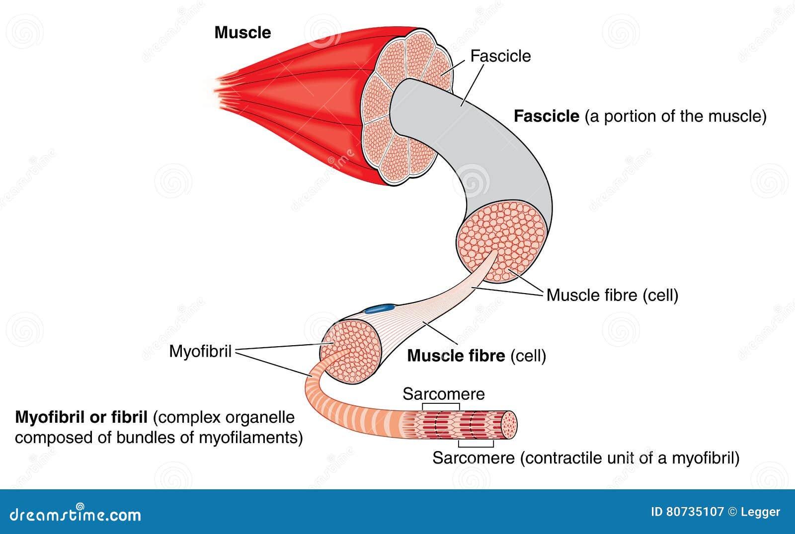 Anatomie van een spier