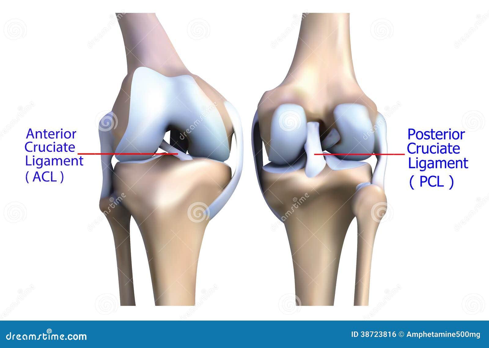 Anatomie Van Het De Kniebeen En Pezen. Stock Illustratie ...