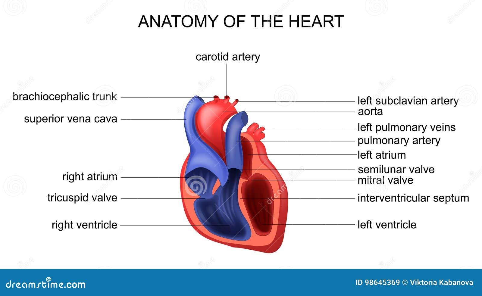 Wonderlijk Anatomie van het hart vector illustratie. Illustratie bestaande CR-06