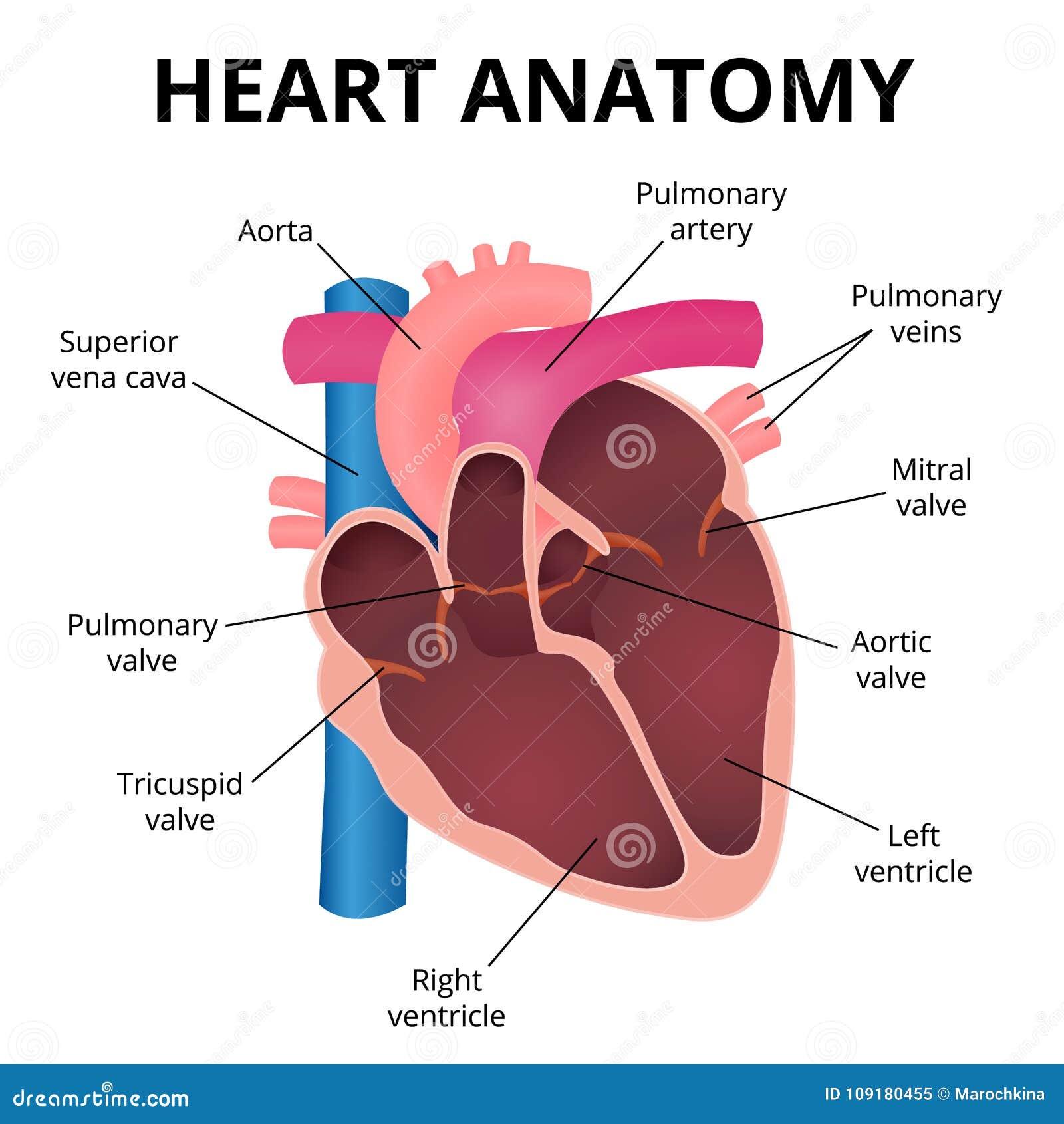 Ongekend Anatomie Van Het Menselijke Hart Vector Illustratie - Illustratie VZ-52