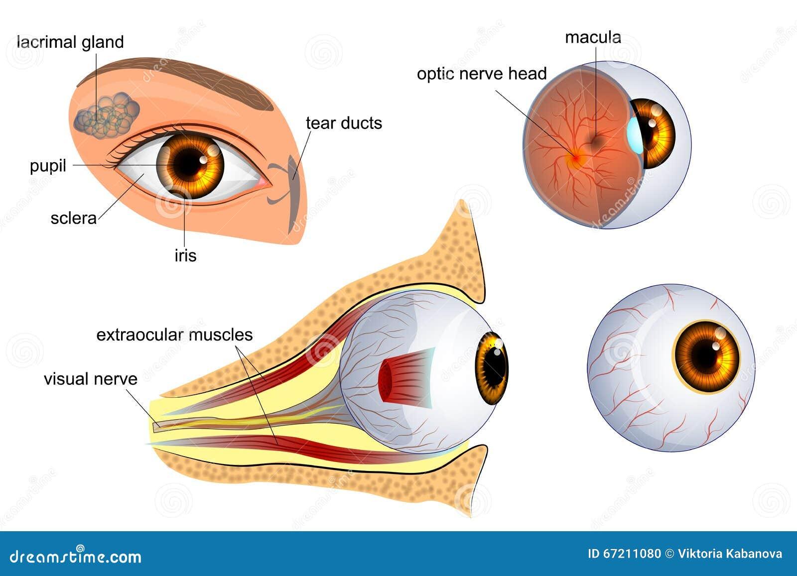 Cul de sac eye anatomy 8771024 - togelmaya.info