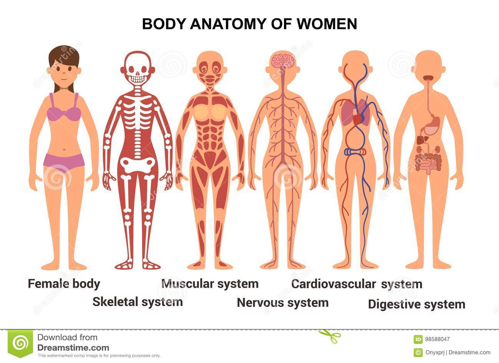 Welp Anatomie Van Het Vrouwelijke Lichaam Anatomische Affiche Stock QG-16