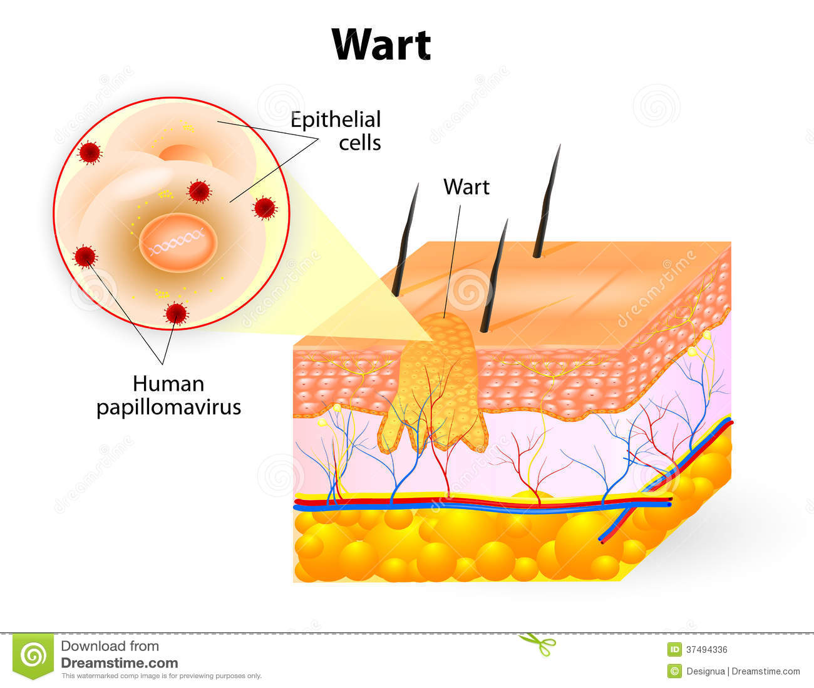 Anatomie Van Wrat Vector Illustratie Afbeelding Bestaande