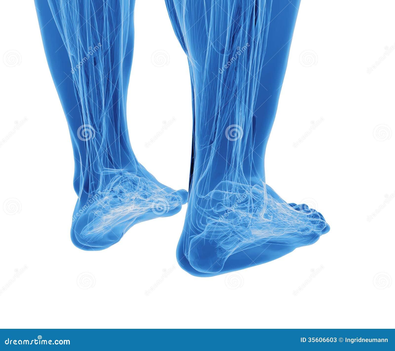 Anatomie Von Menschlichen Beinen Stock Abbildung - Illustration von ...