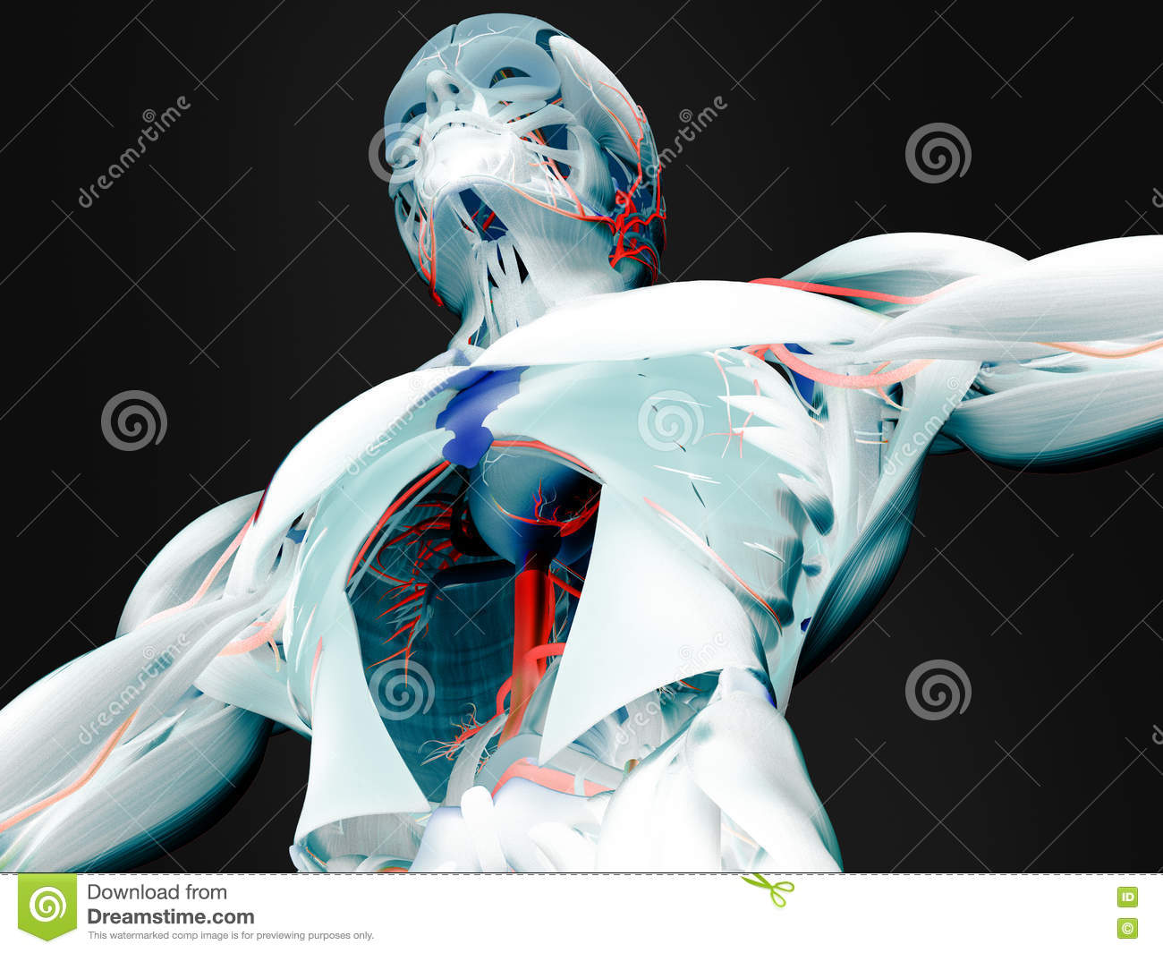 Anatomie Muskeln Stock Photos - Royalty Free Images