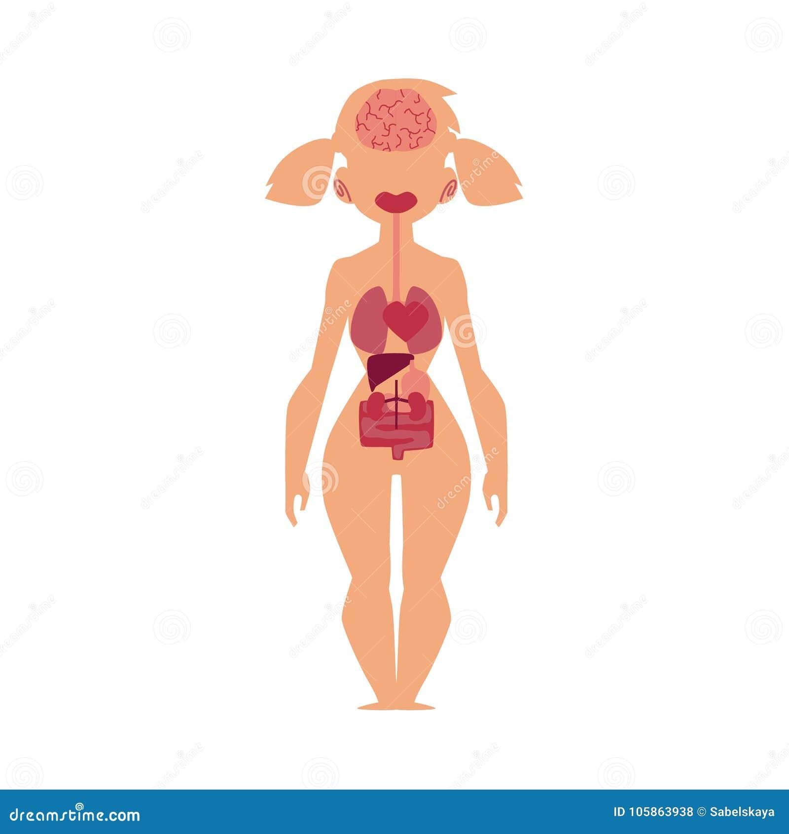 Anatomiediagramm, Menschliche Innere Organe, Weiblicher Körper ...