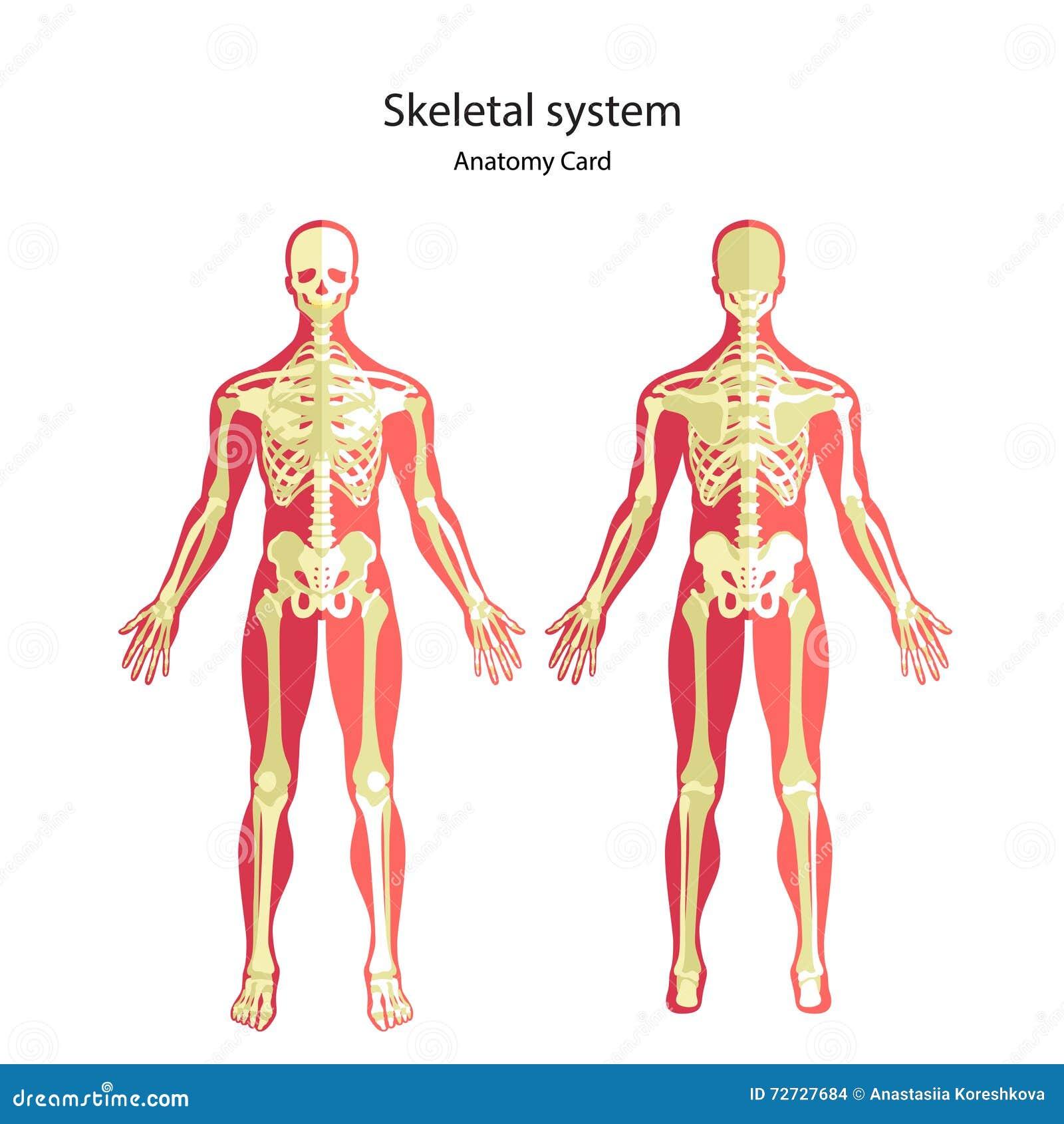 Anatomieführer Des Menschlichen Skeletts Didaktisches Brett Der ...