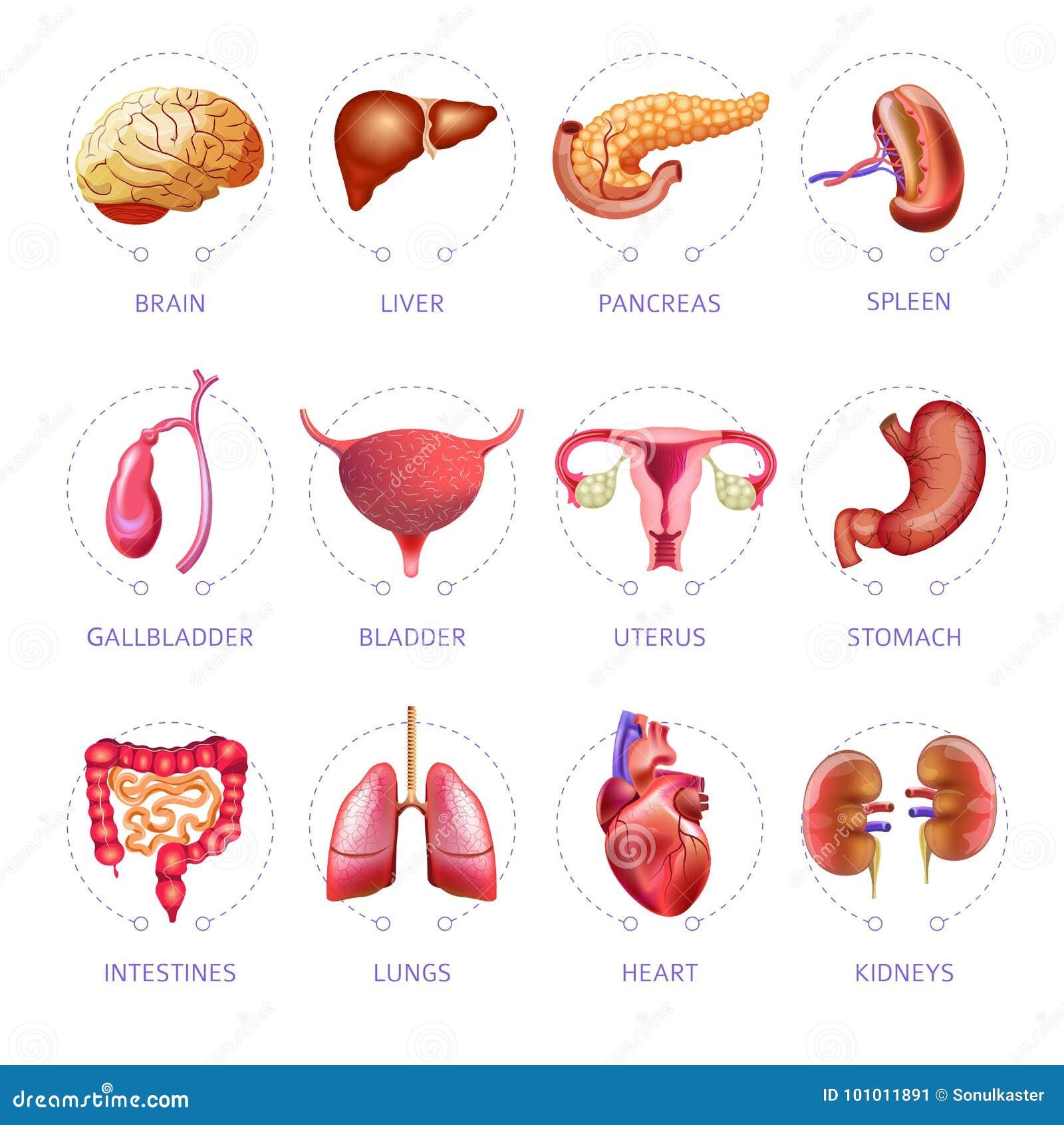 Anatomieikonen Des Vektors Der Inneren Organe Des Menschlichen ...