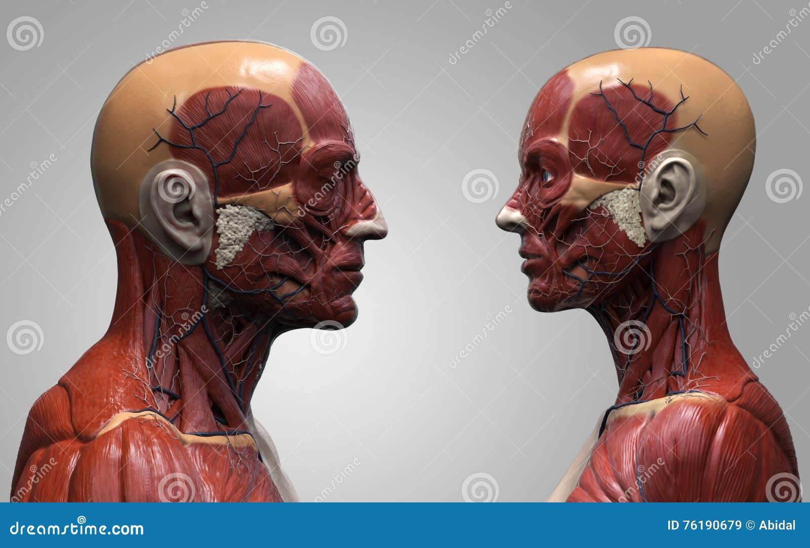 Anatomiemann Und -frau Des Menschlichen Körpers Stock Abbildung ...