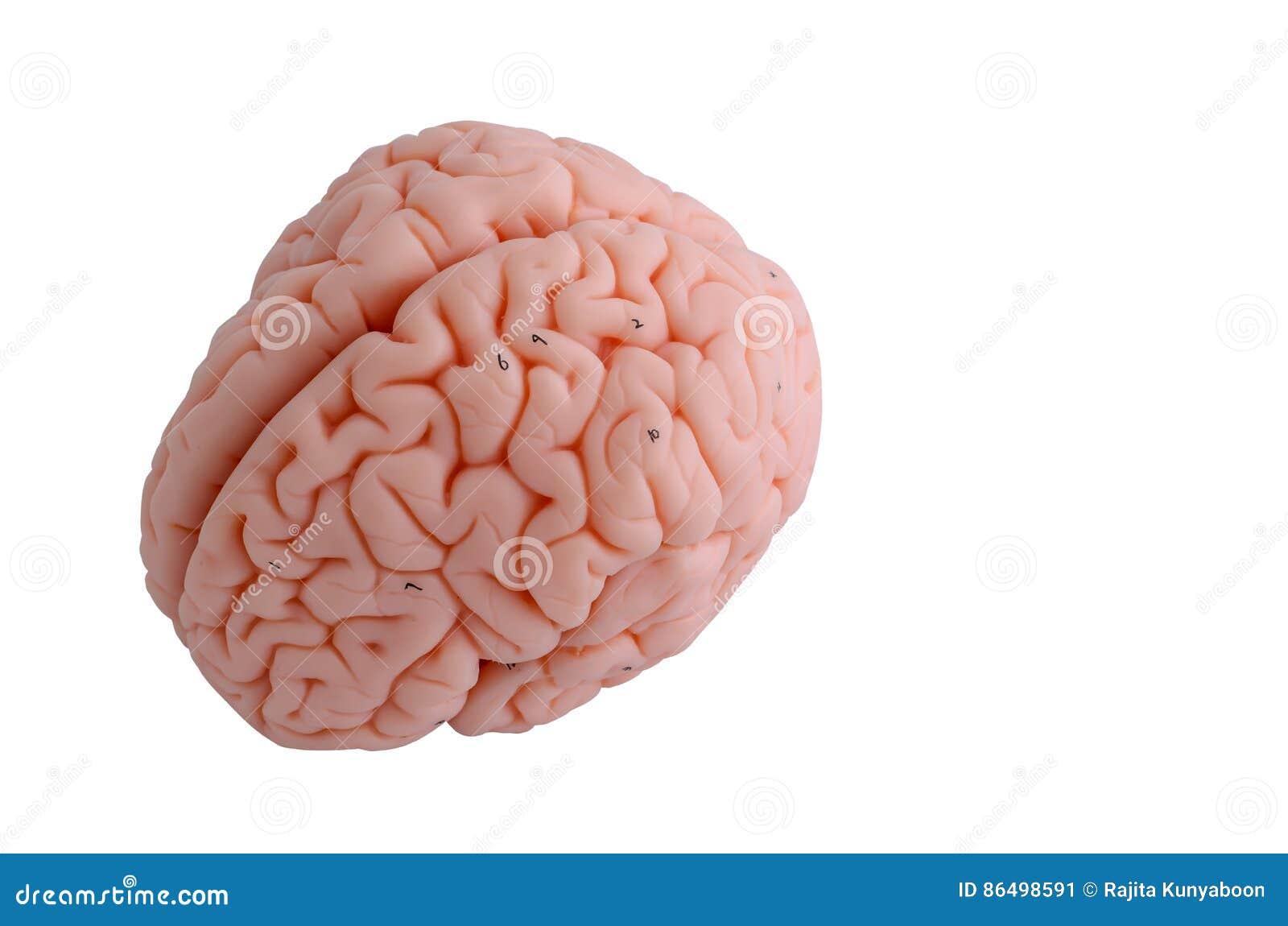 Anatomiemodell Des Menschlichen Gehirns Stockbild - Bild von ...