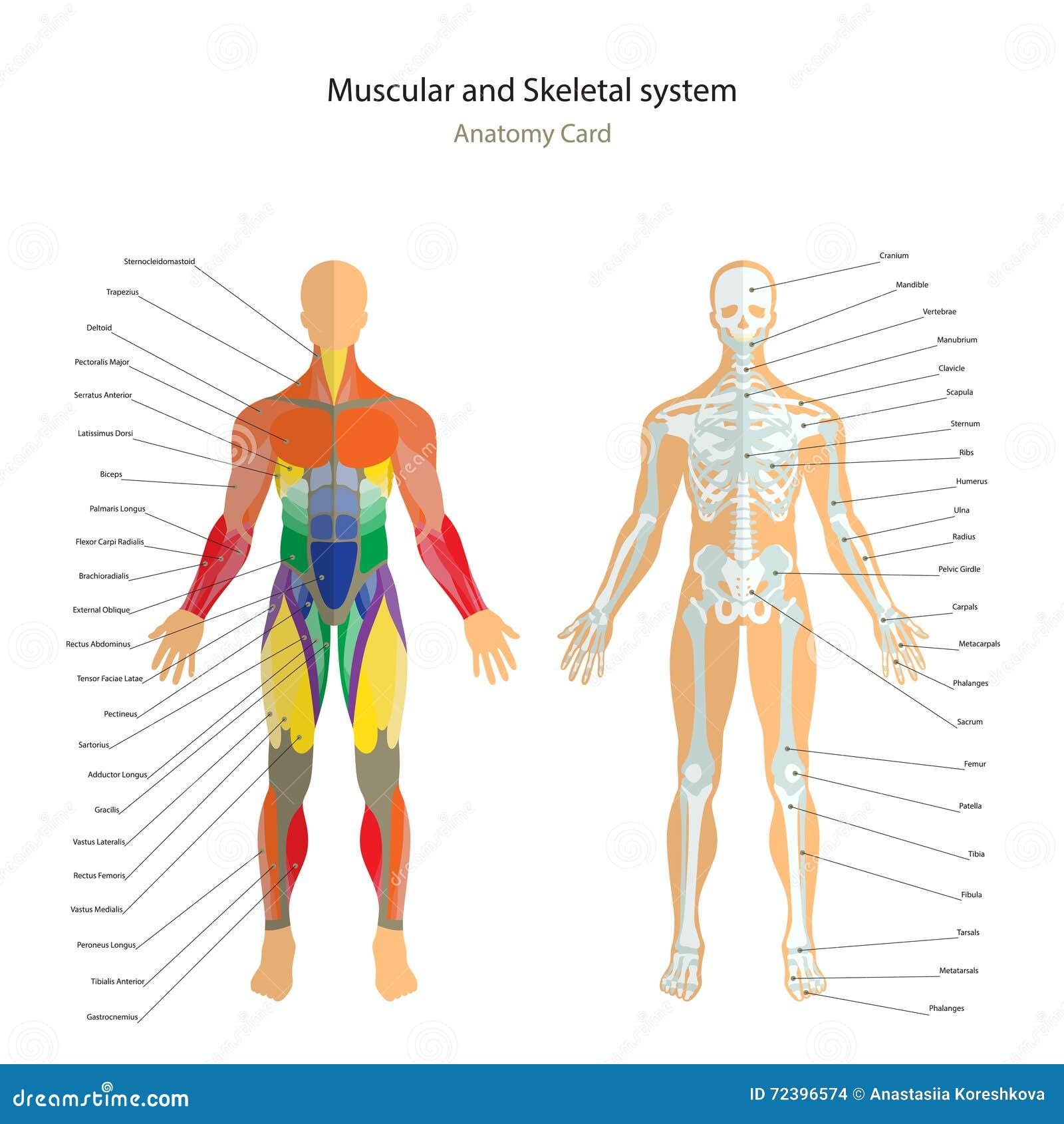 Anatomihandbok Manlig skelett- och muskelöversikt med förklaringar Bekläda beskådar