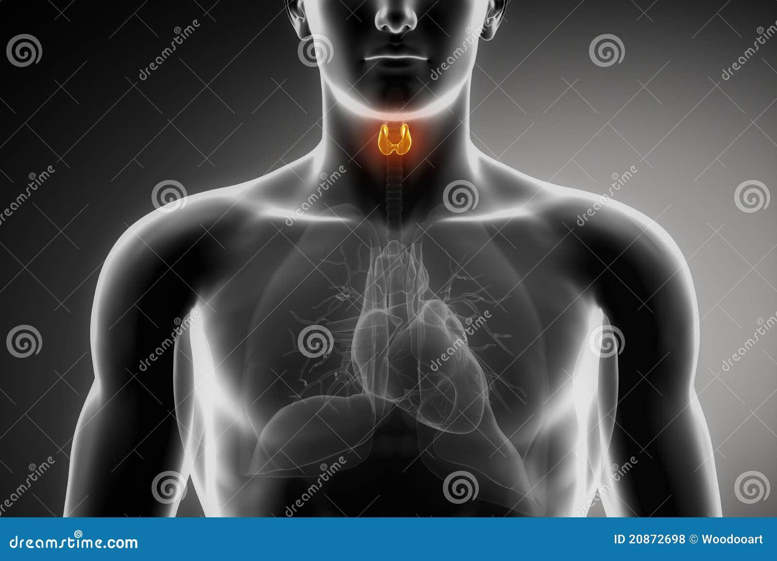 Anatomimanligthyroid