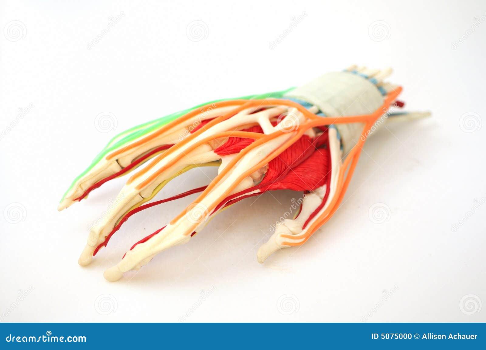 Anatomisch handmodel