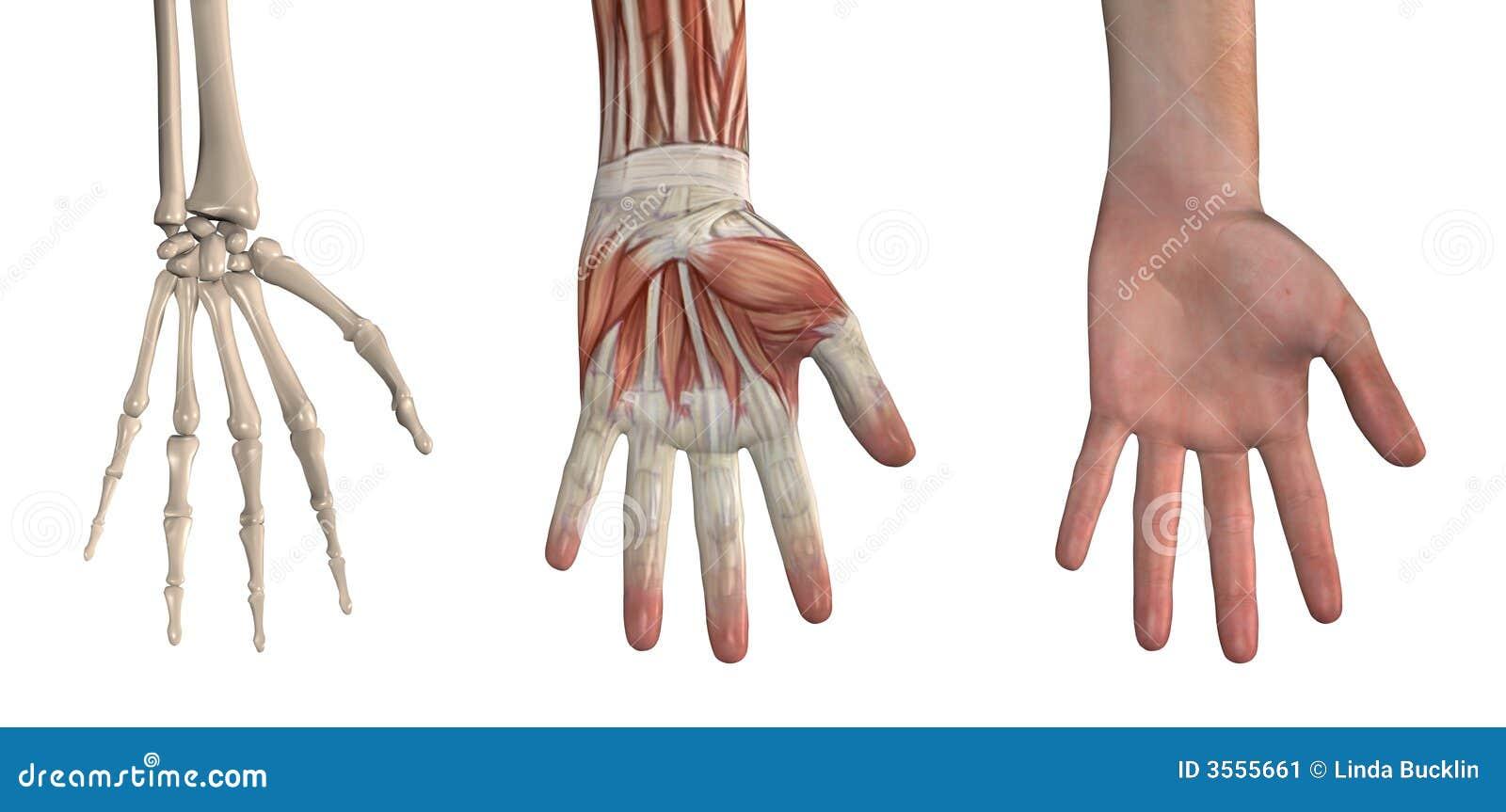Anatomische Bekledingen - Hand Stock Illustratie - Illustratie ...