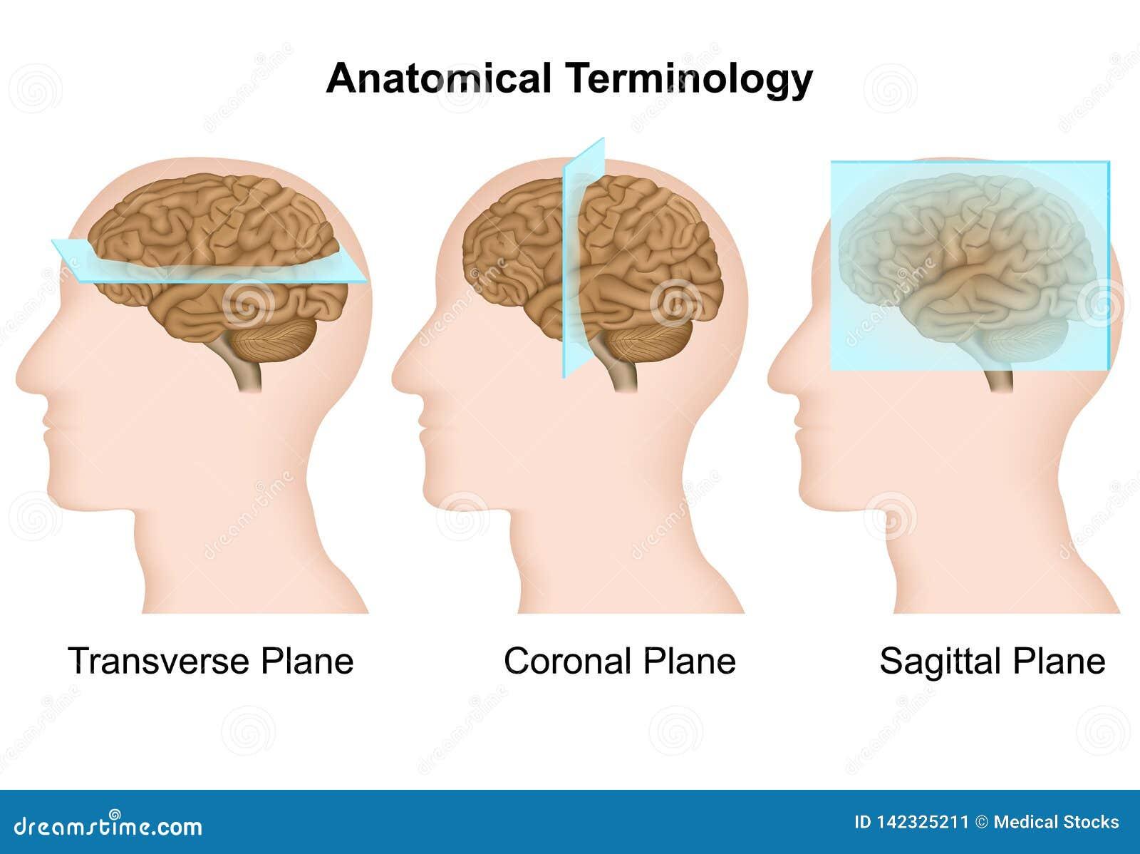 Anatomische terminologie, anatomische vliegtuigen medische vectorillustratie