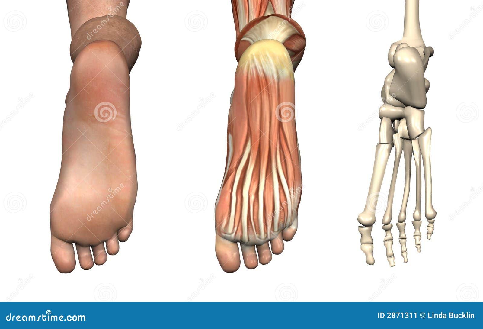 Anatomische Testblätter - Fuß Stock Abbildung - Illustration von fuß ...