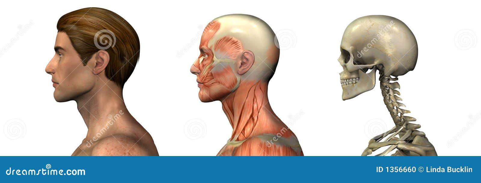 Ungewöhnlich Zygomatic Haupt Bilder - Menschliche Anatomie Bilder ...