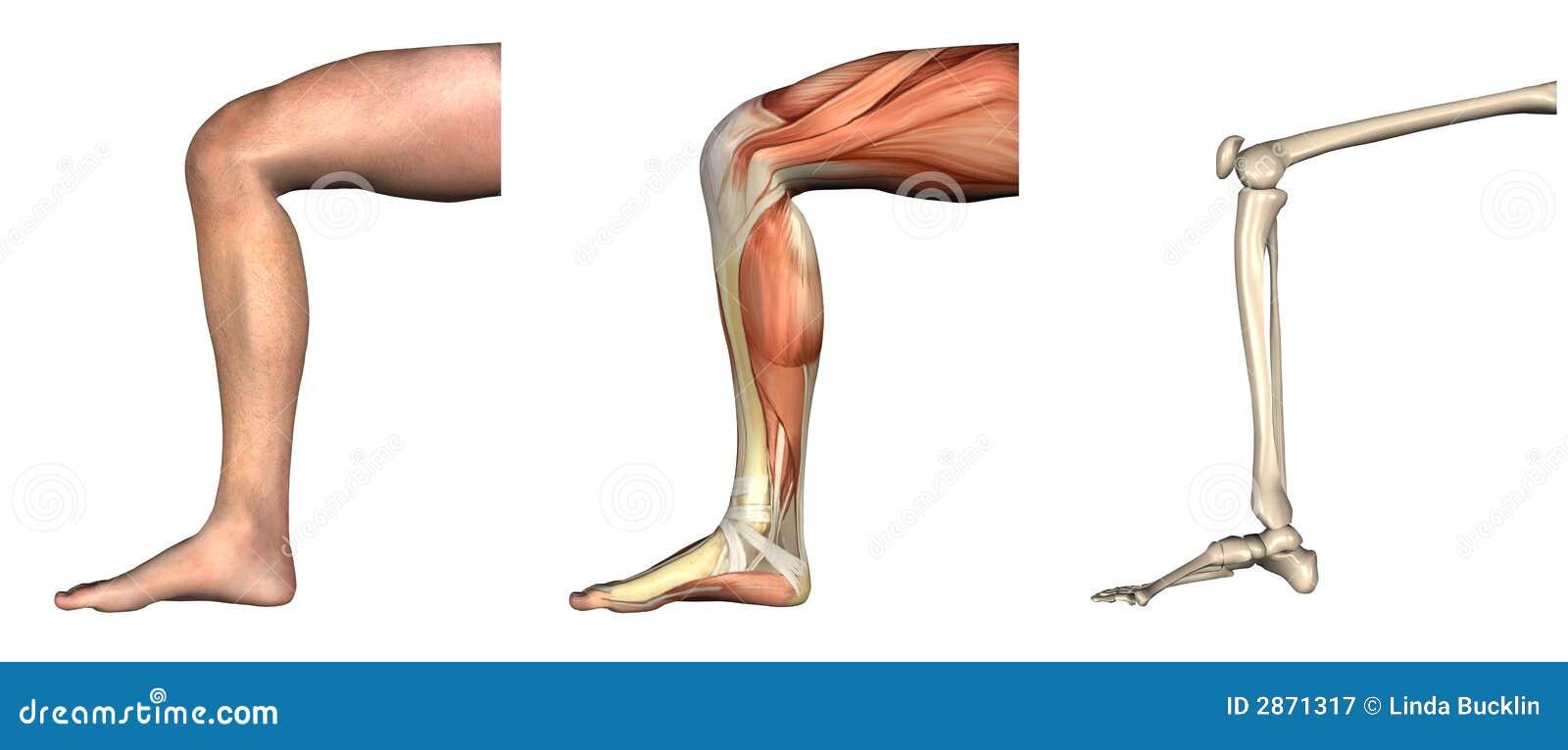 Anatomische Testblätter - Verbogenes Knie Stock Abbildung ...