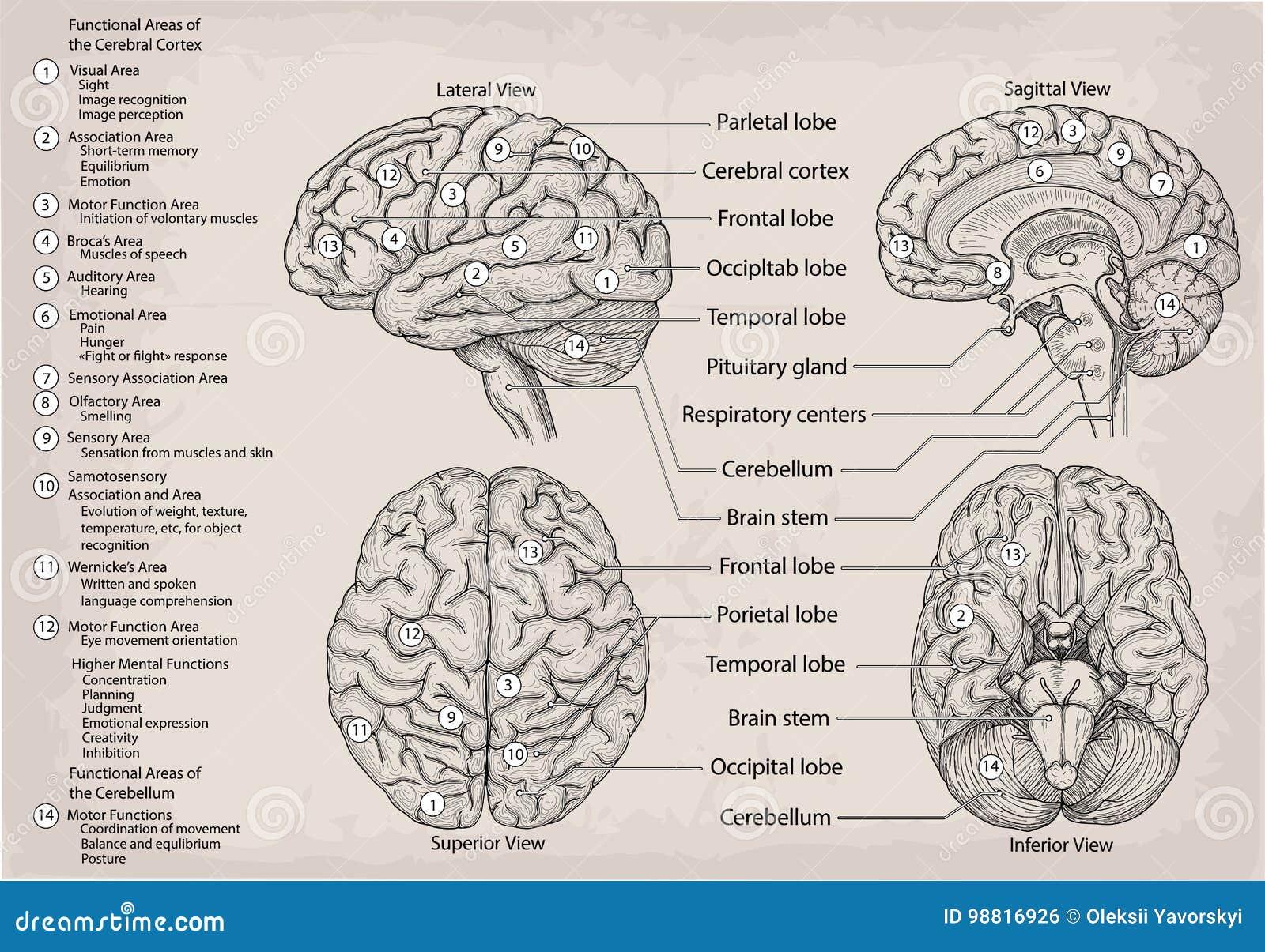 Anatomisches Diagramm Des Menschlichen Gehirns Medizin ...