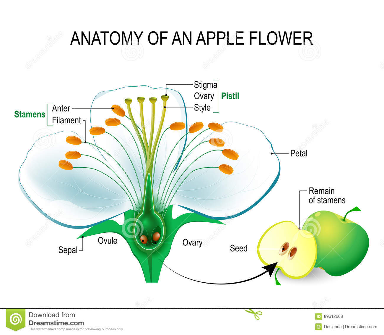 Anatomy of an apple flower stock vector. Illustration of educational ...