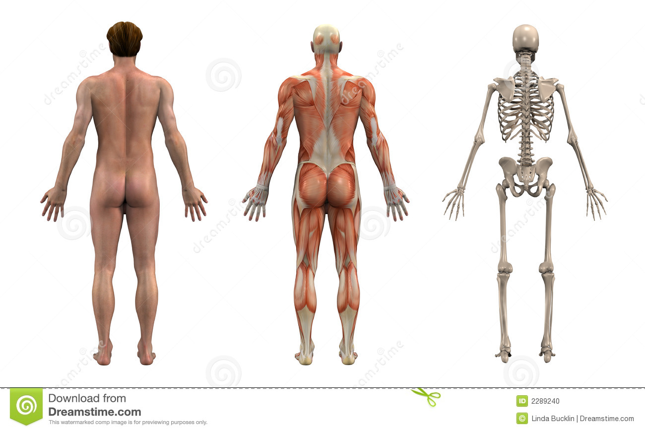 Anatomy Back - Adult Male stock illustration. Illustration of chart ...