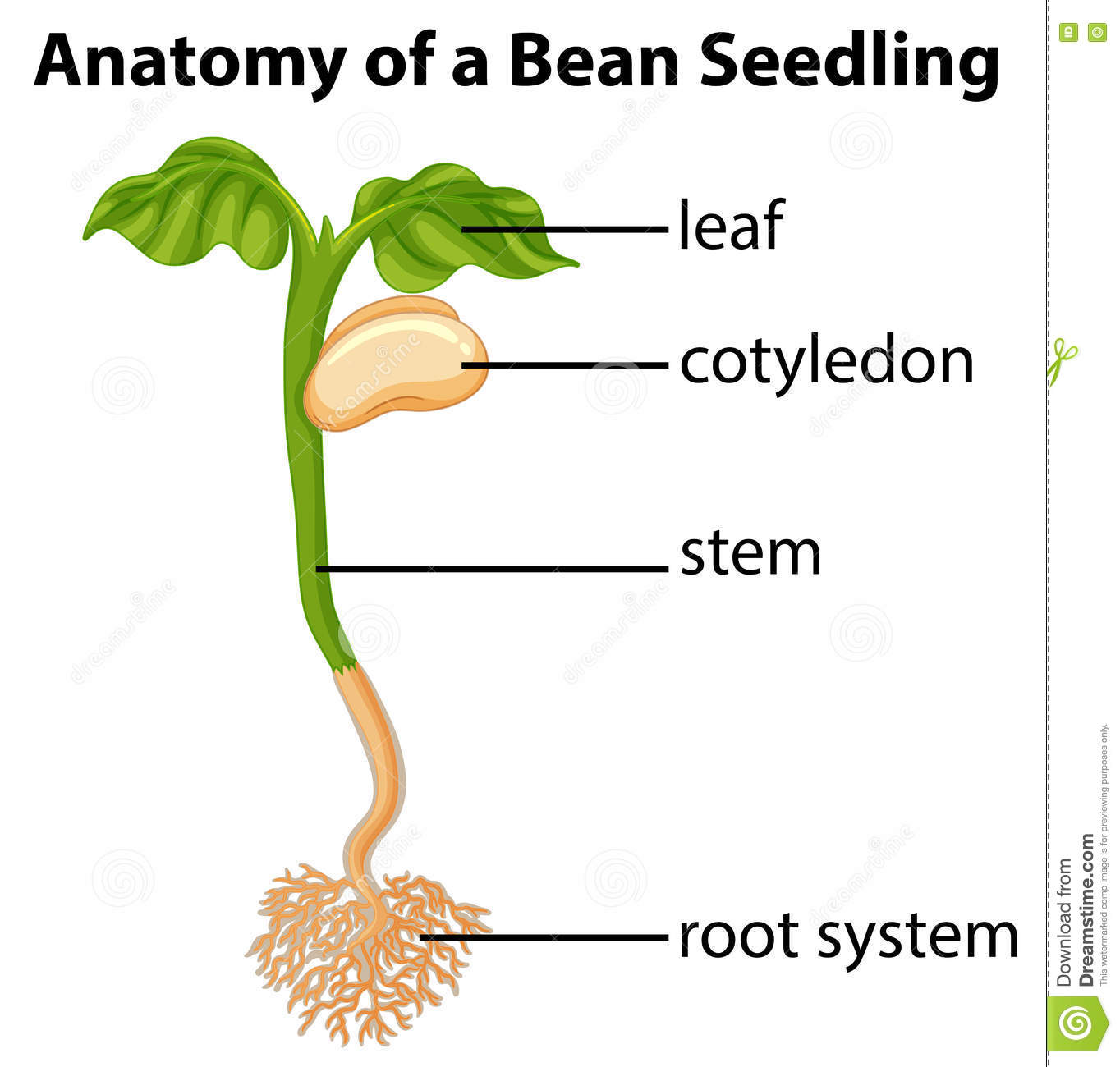 Anatomy of a bean seed stock vector illustration of hilum 89452625 anatomy of bean seedling on chart stock images pooptronica Images