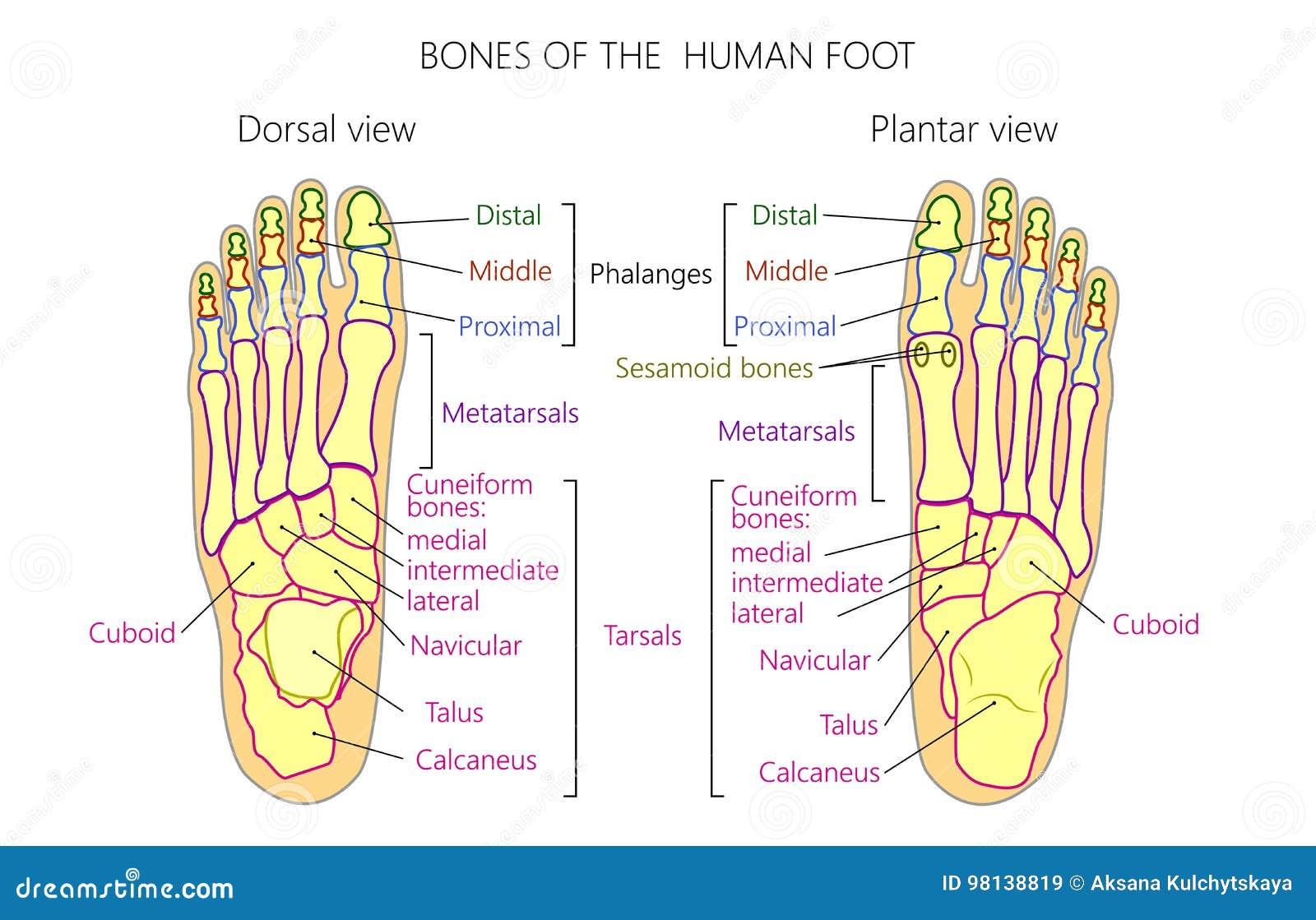 Anatomybones Of The Human Foot Dorsal And Plantar View Stock Vector