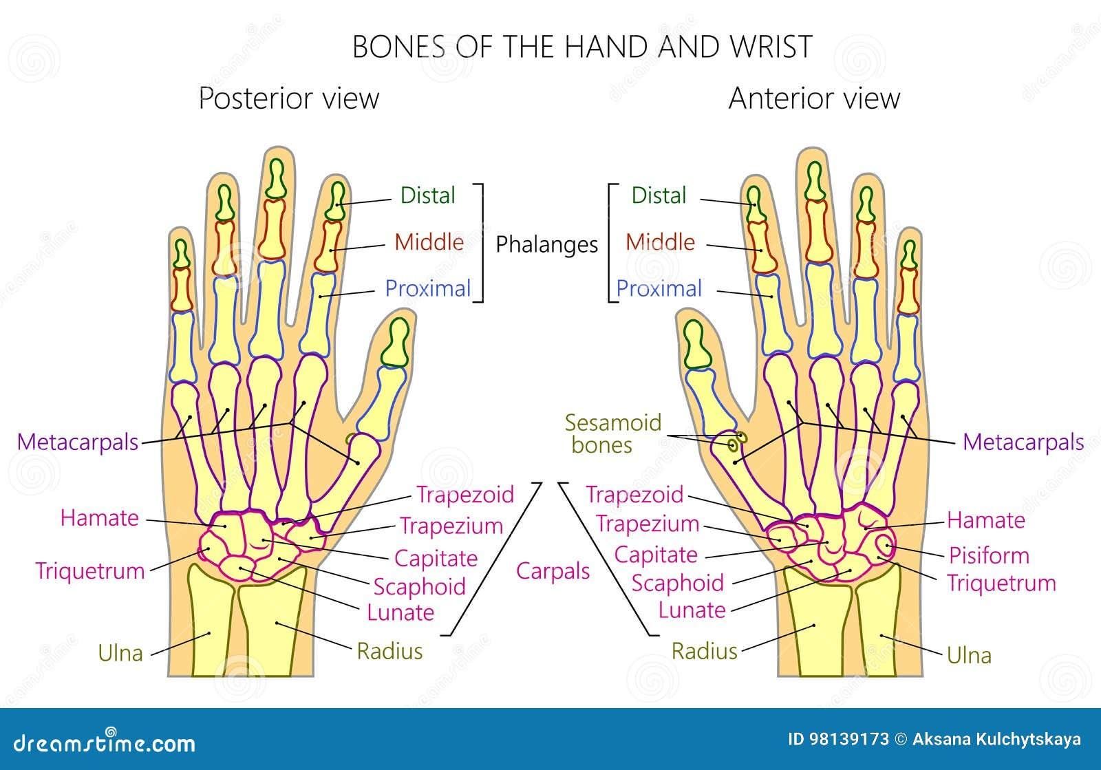 Anatomy_bones Of The Human Hand Stock Vector - Illustration of ...