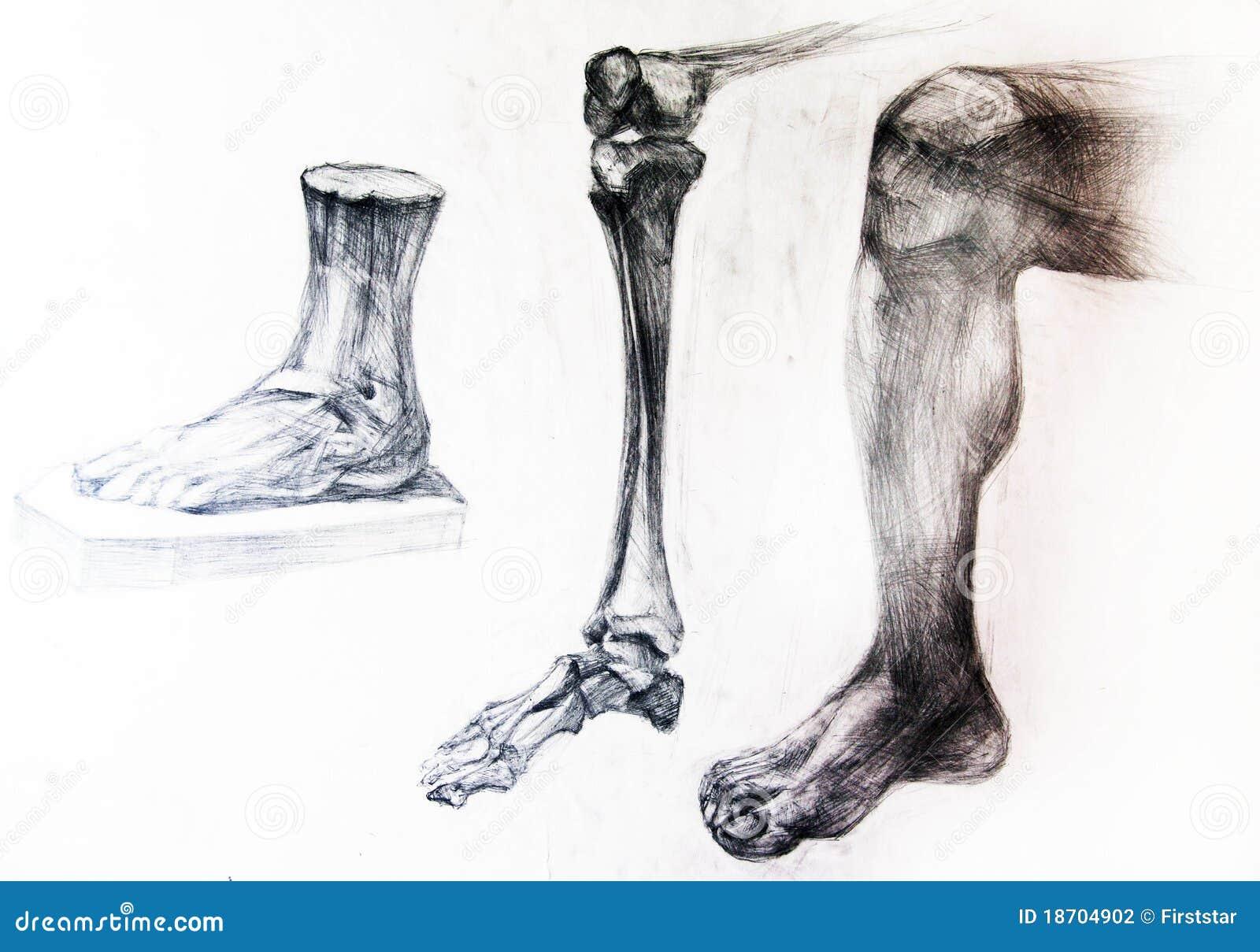 Anatomy Bones Of A Skeleton Drawing Studio Works Stock Illustration Illustration Of Torso Muscle 18704902