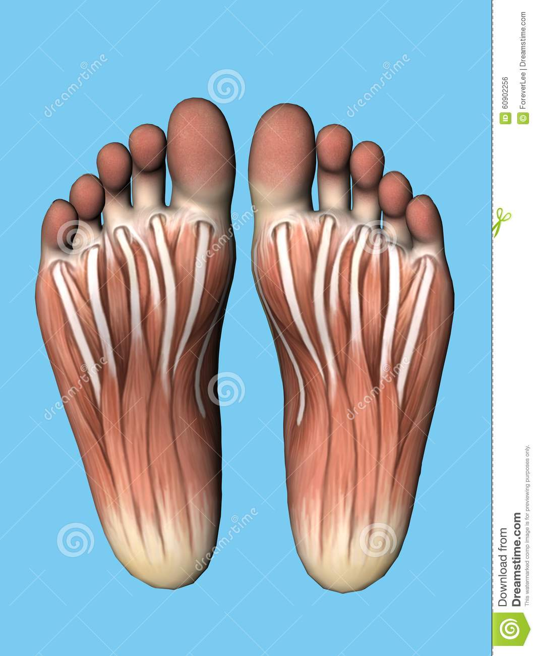 Anatomy Bottom View Of Foot Stock Illustration Illustration Of