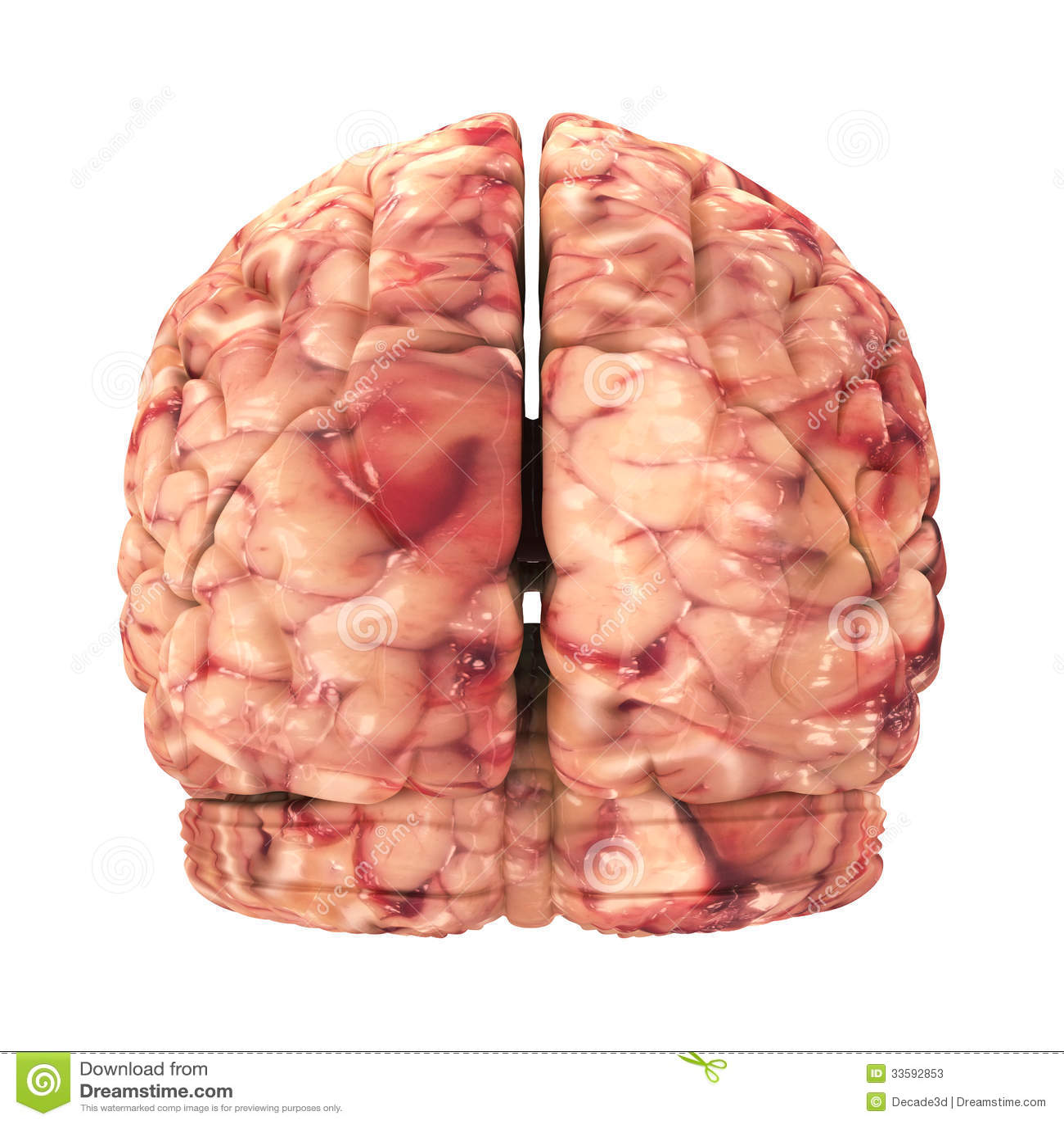 Anatomy Brain - Back View Isolated Stock Illustration - Illustration ...