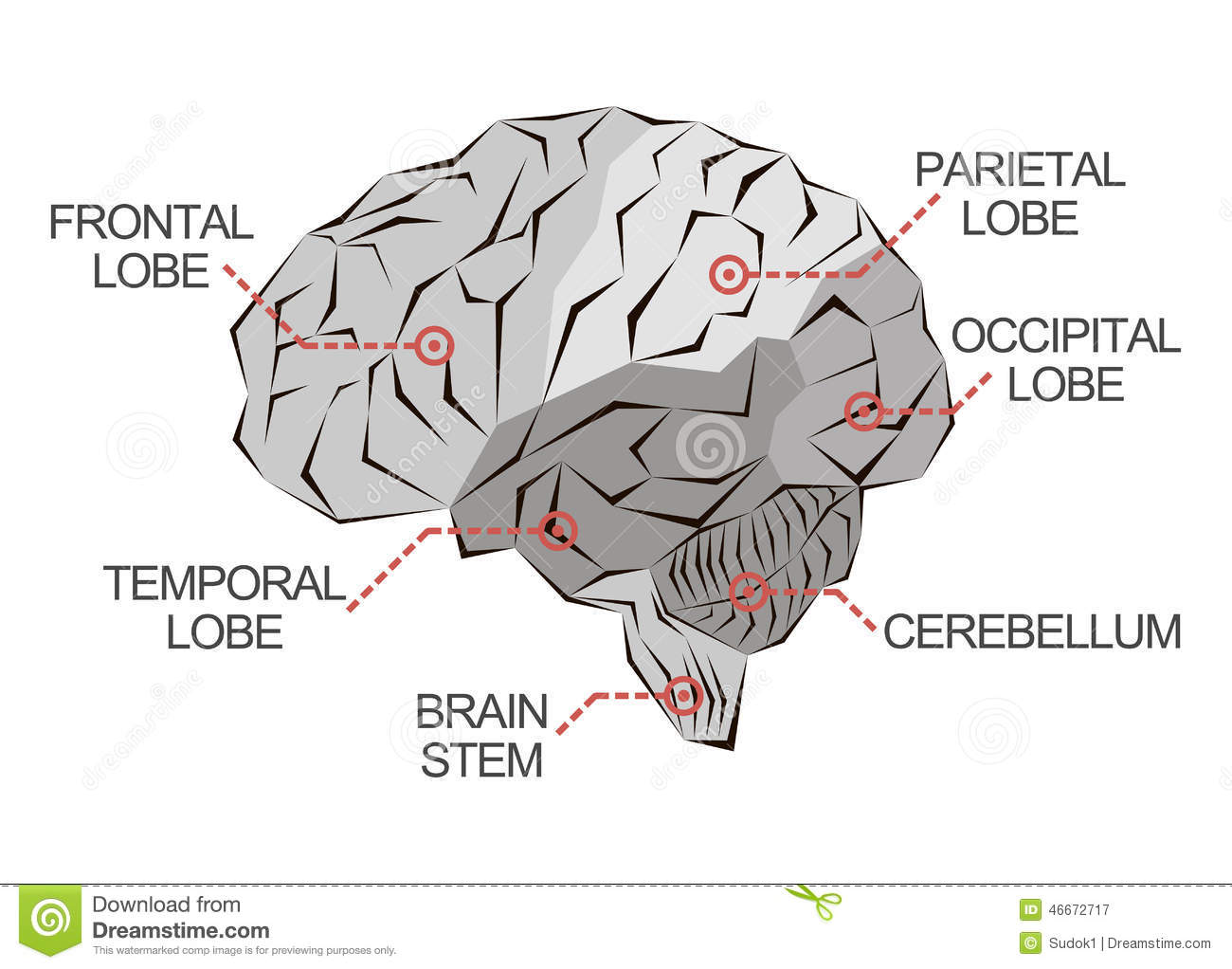 Anatomy Of The Brain In Monochrome Stock Illustration - Illustration ...