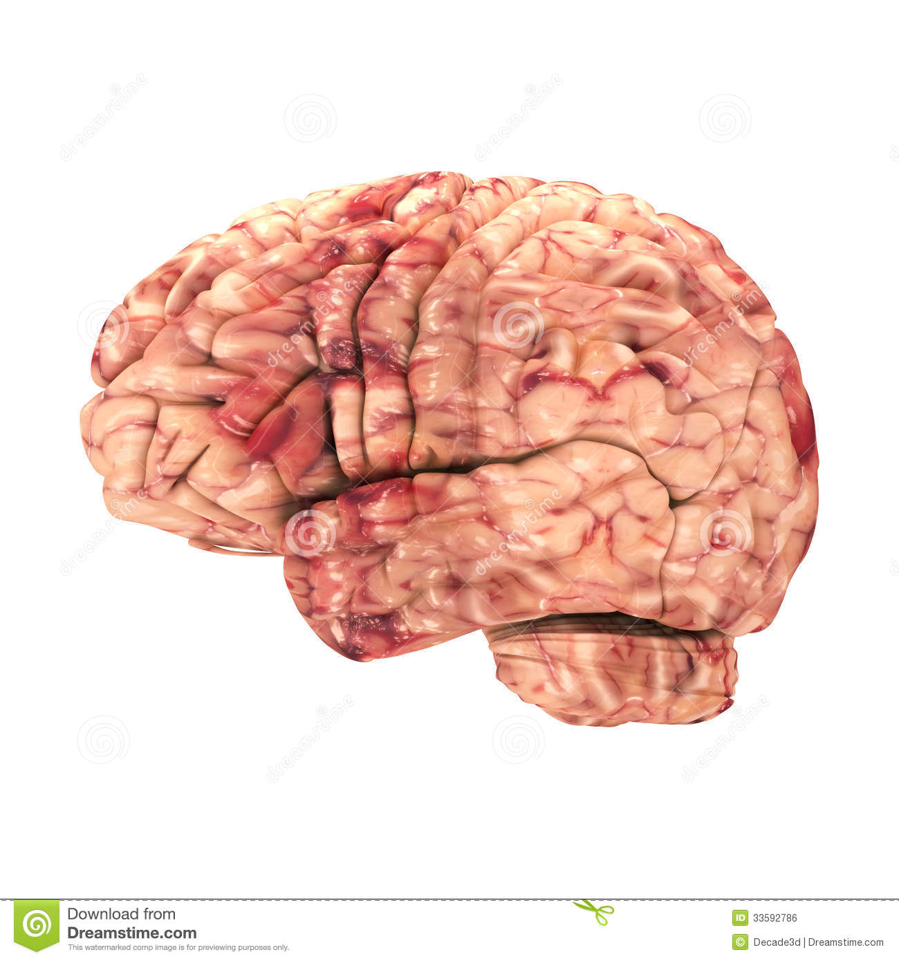 Anatomy Brain - Side View Isolated Stock Illustration - Illustration ...