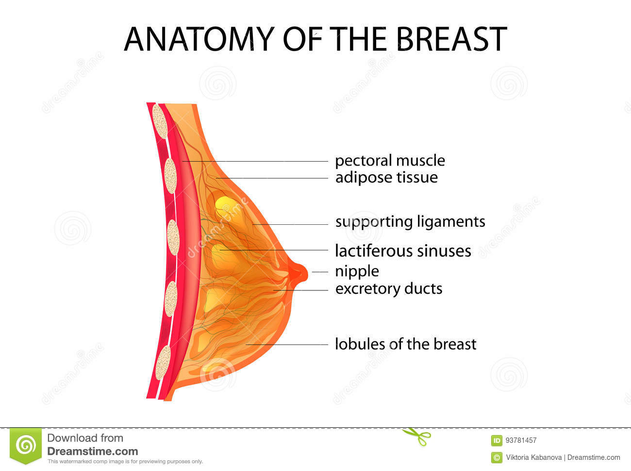 Anatomy Breast Stock Illustrations – 1,324 Anatomy Breast Stock ...