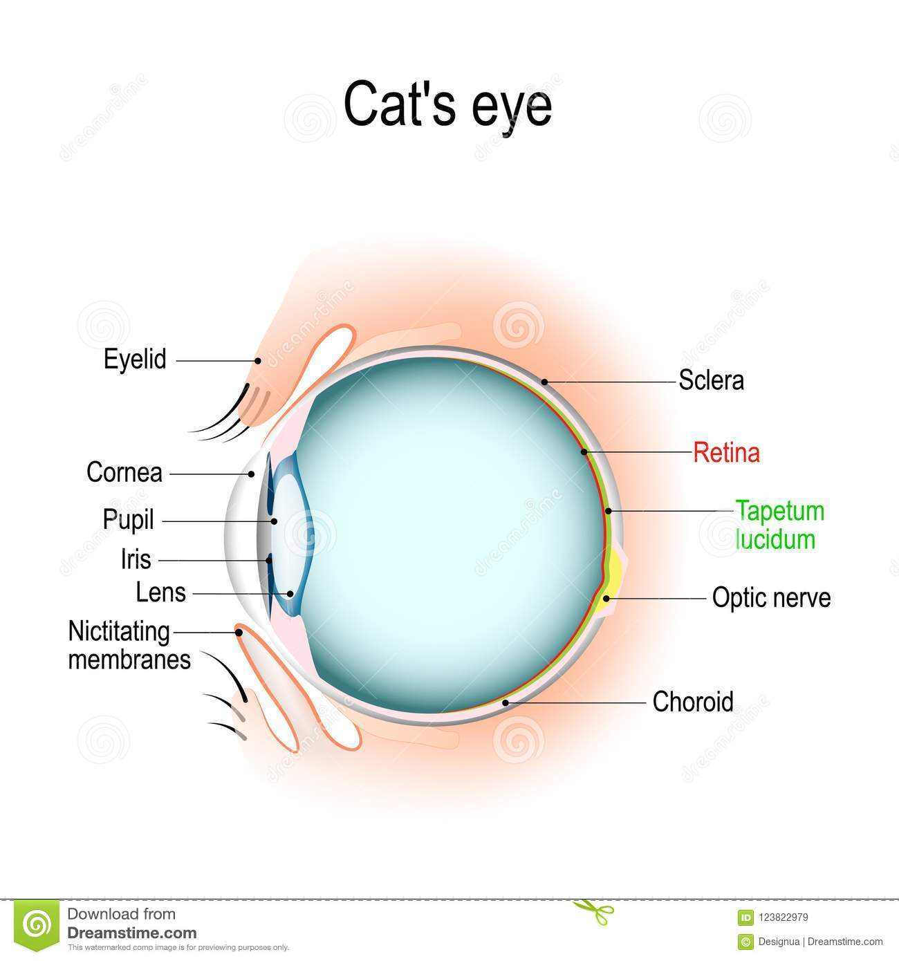 Anatomy of the cats or dogs eye stock vector illustration of anatomy of the cats or dogs eye vertical section of the eye and eyelids third eyelid and tapetum lucidum schematic diagram detailed illustration ccuart