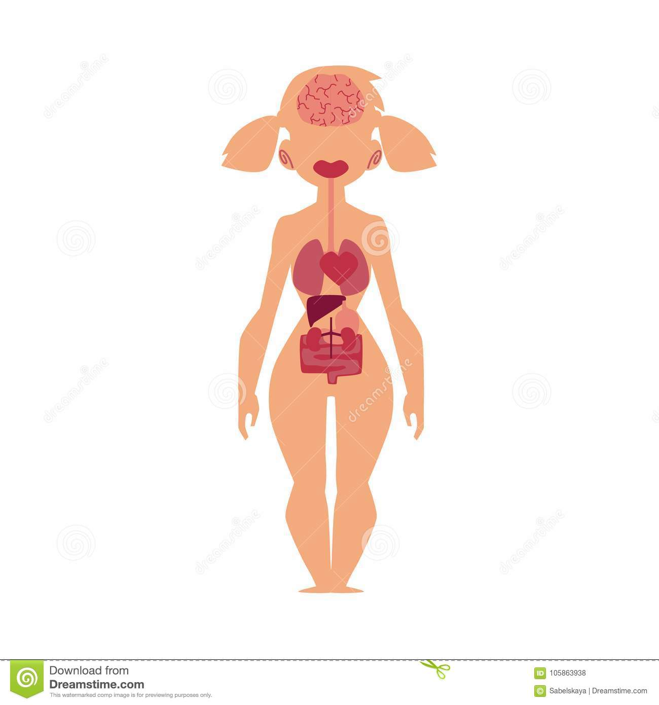 Anatomy Chart Human Internal Organs Female Body Stock Vector