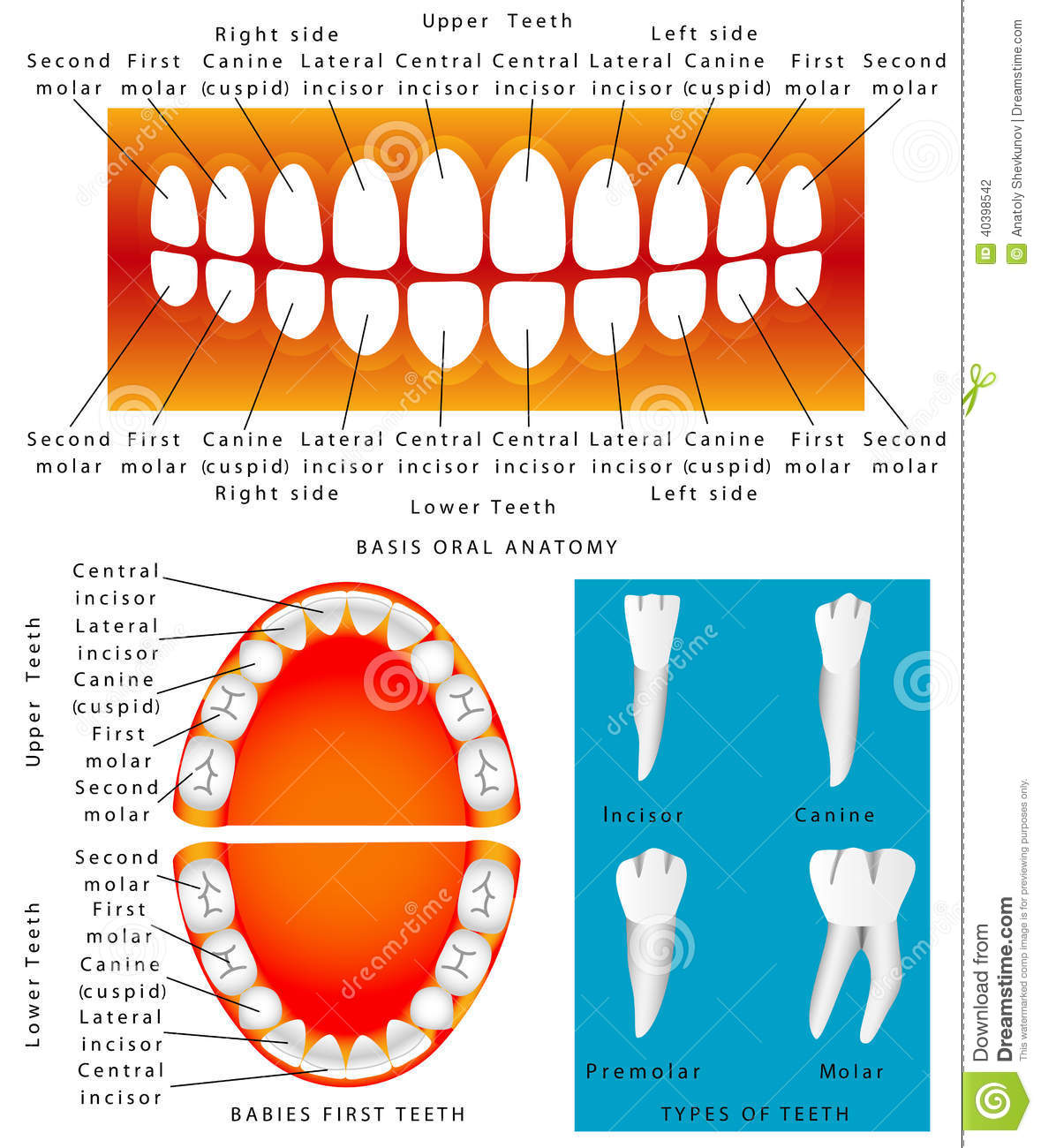 Human - Anatomy of children teeth. Baby teething chart, dental titles ...