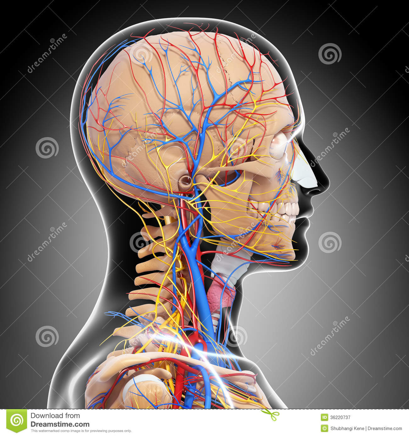 anatomy  circulatory system  brain royalty  stock