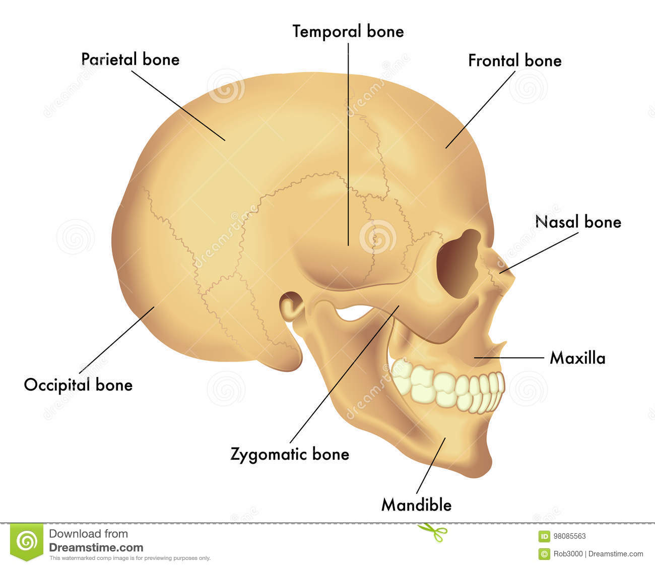 anatomy diagram of a skull stock vector illustration of medical rh dreamstime com diagram of a dog skull diagram of skull with labels