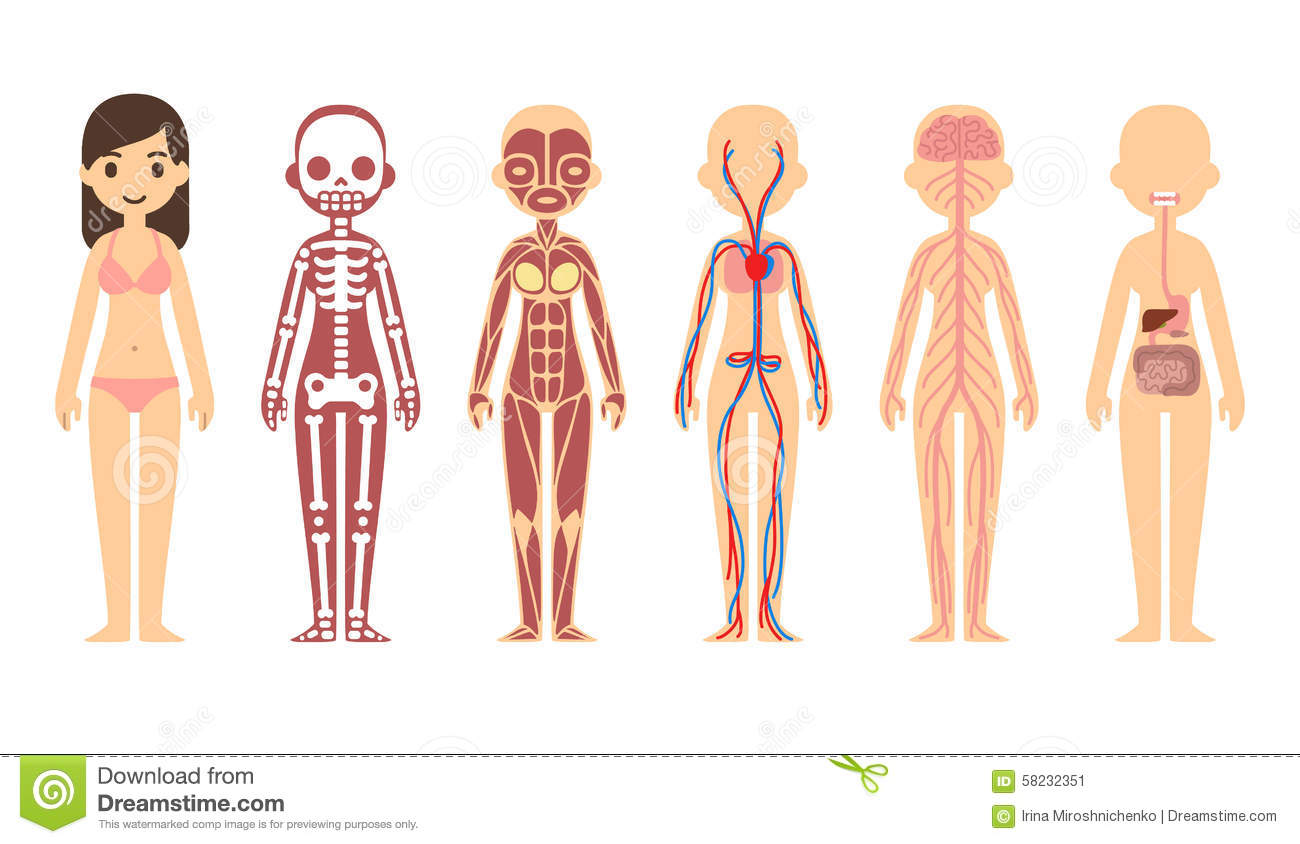 anatomy diagram stock vector   image    anatomy diagram stock image