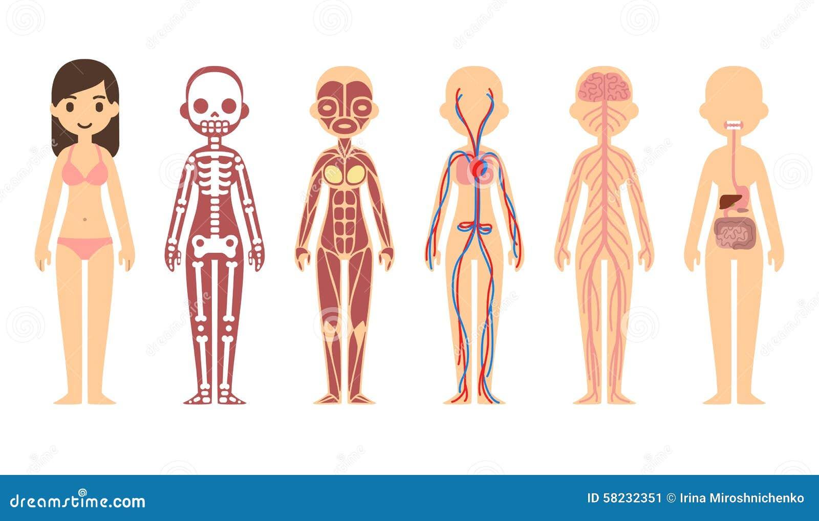 Simple Human Organ Diagram Crazywidowfo
