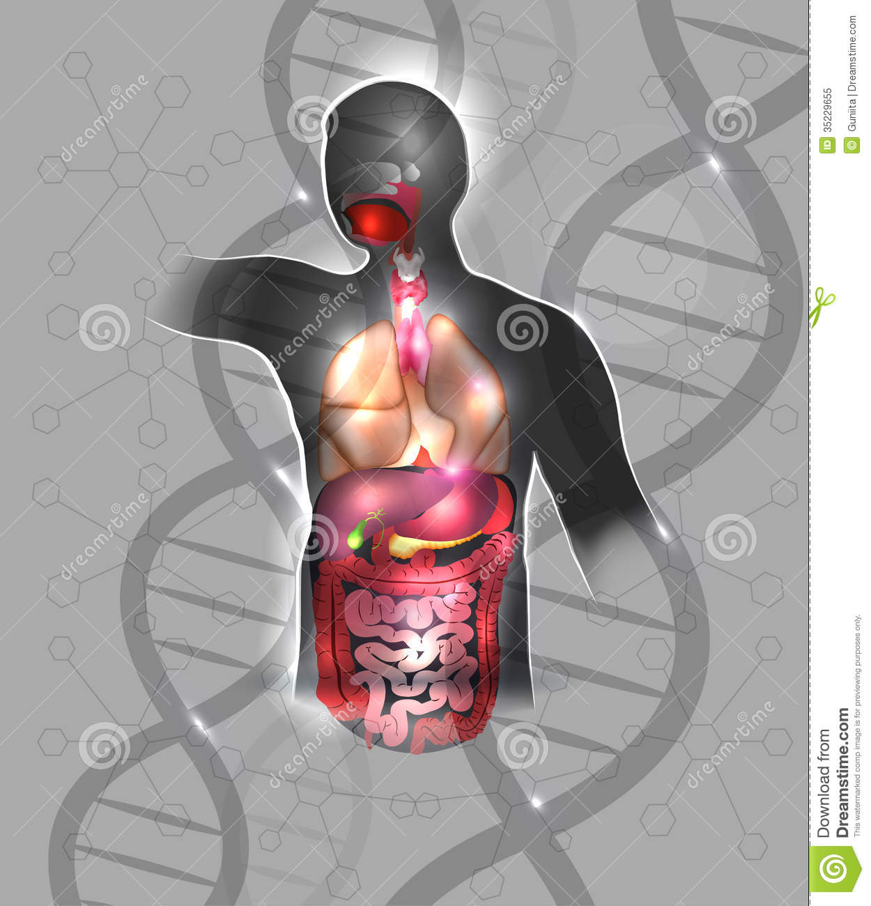 anatomy and dna stock vector image of duodenum abstract. Black Bedroom Furniture Sets. Home Design Ideas