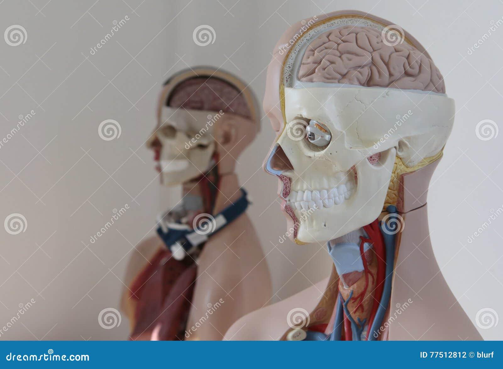 Anatomy dummy model stock photo. Image of skull, model - 77512812
