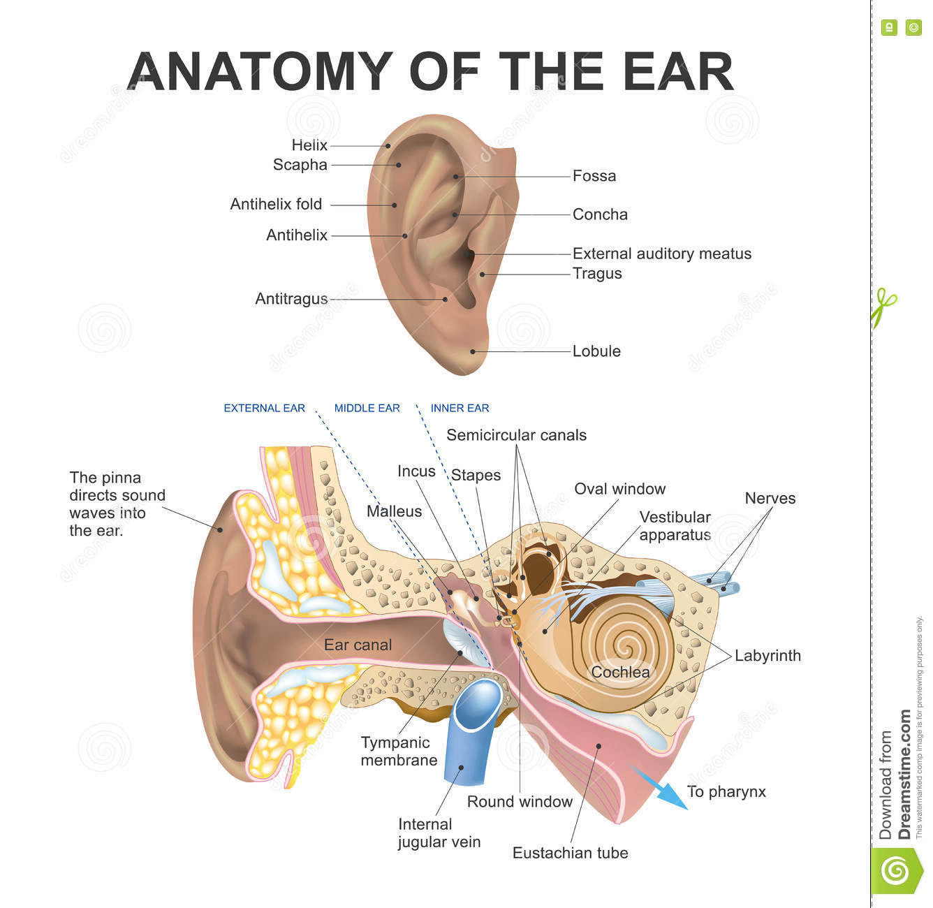 Anatomy Of The Ear. Health Care Education Infographic. Vector Design ...