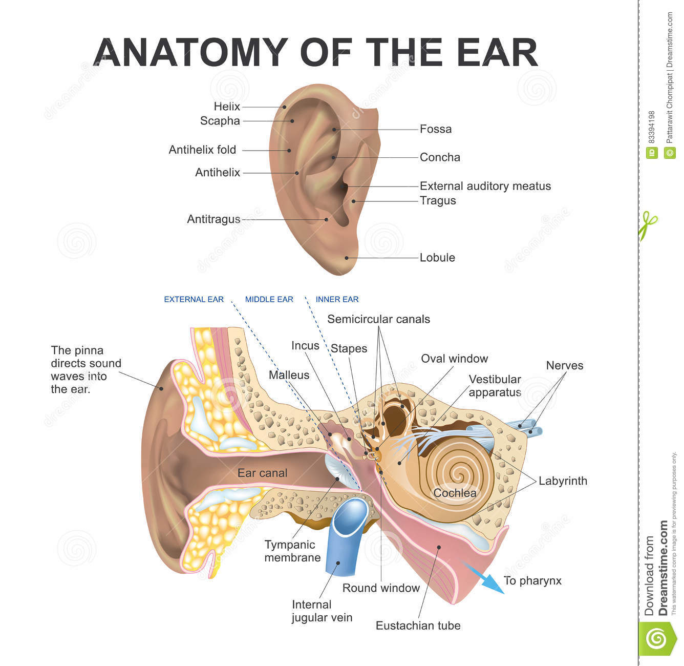 Anatomy Of The Ear. Vector Design. Stock Illustration - Illustration ...