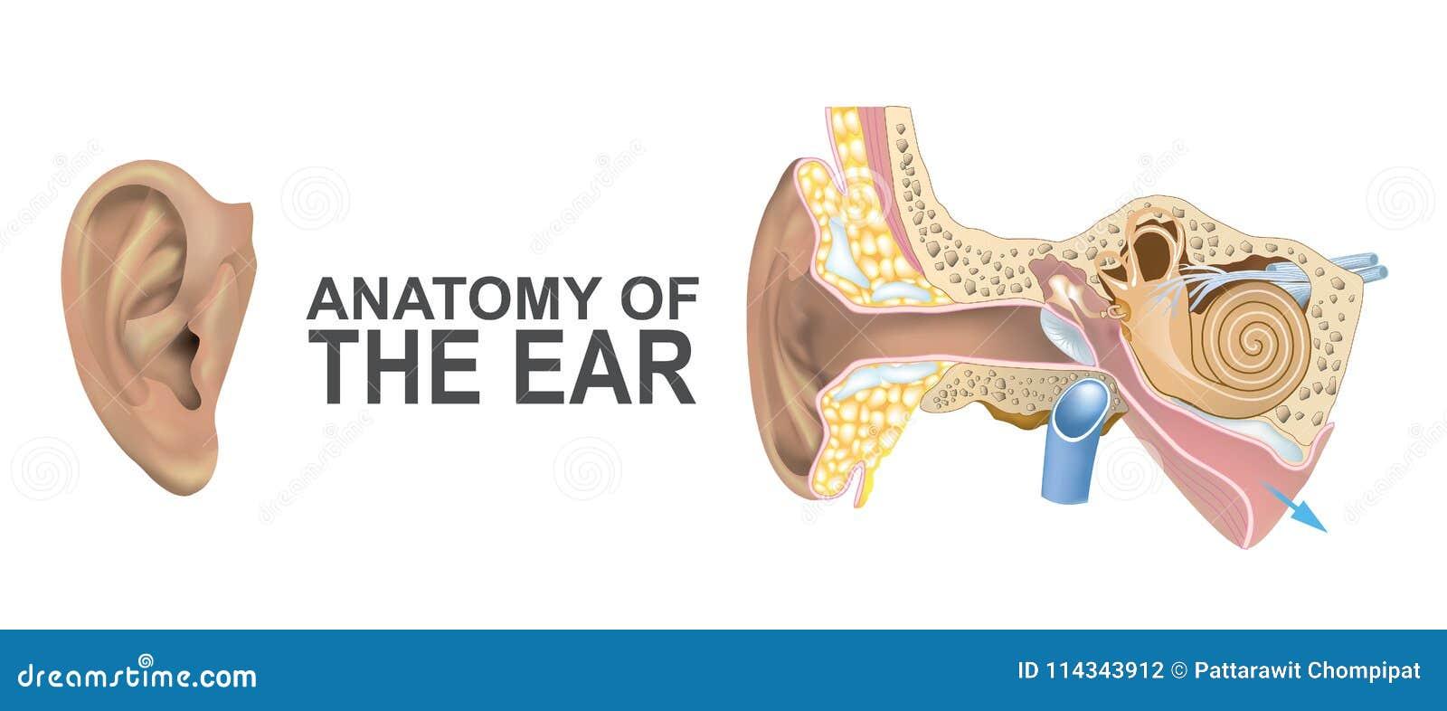 Anatomy Ear Stock Illustrations – 1,992 Anatomy Ear Stock ...