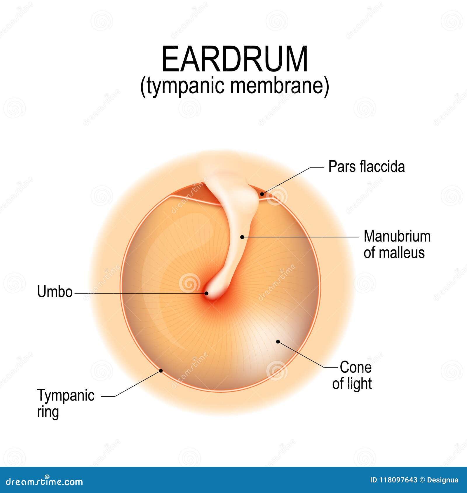 Anatomy Of The Eardrum Stock Vector Illustration Of Biology 118097643