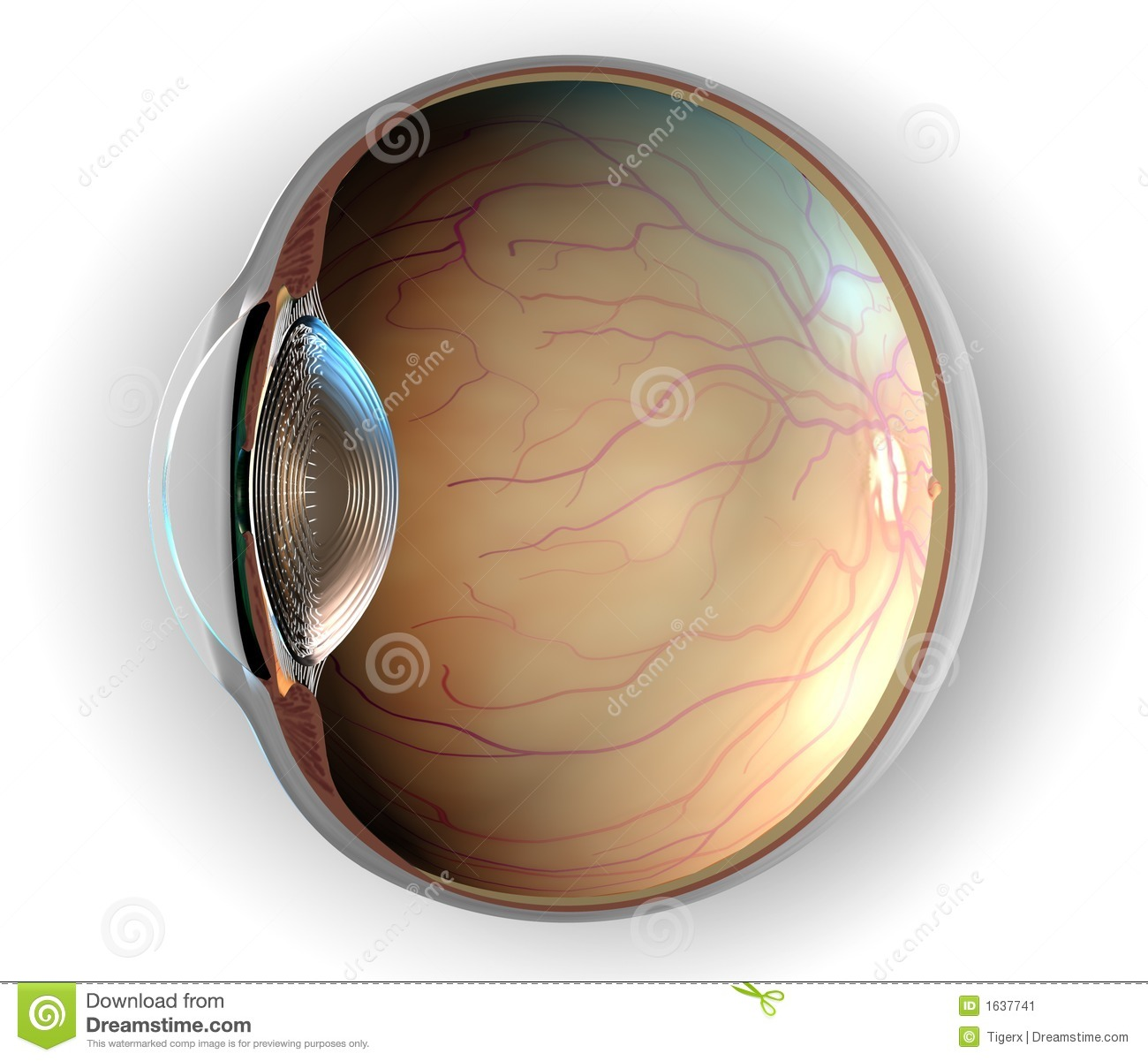Anatomy of Eye stock illustration. Illustration of artery - 1637741