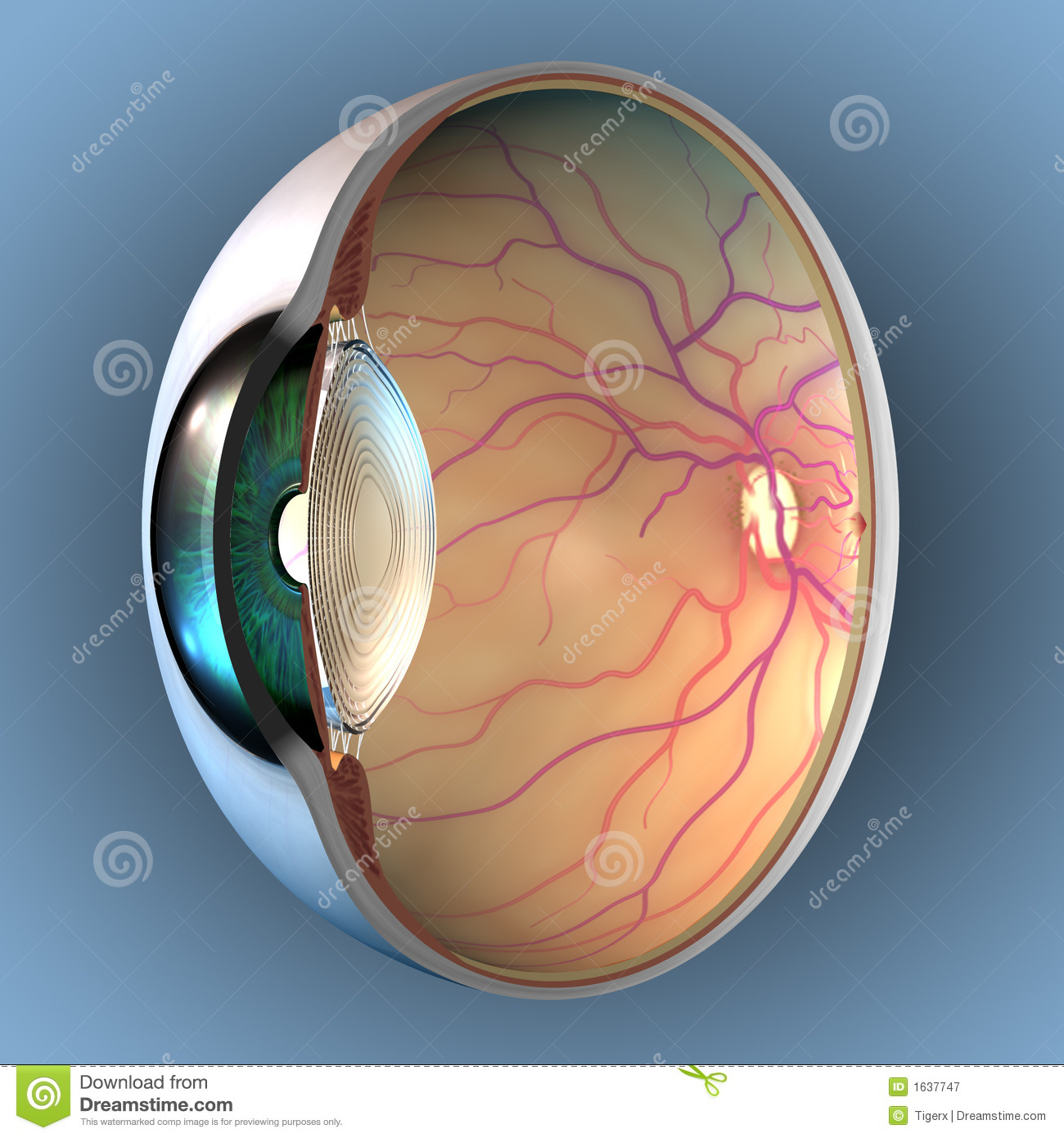 Anatomy of Eye stock illustration. Illustration of sagittal - 1637747